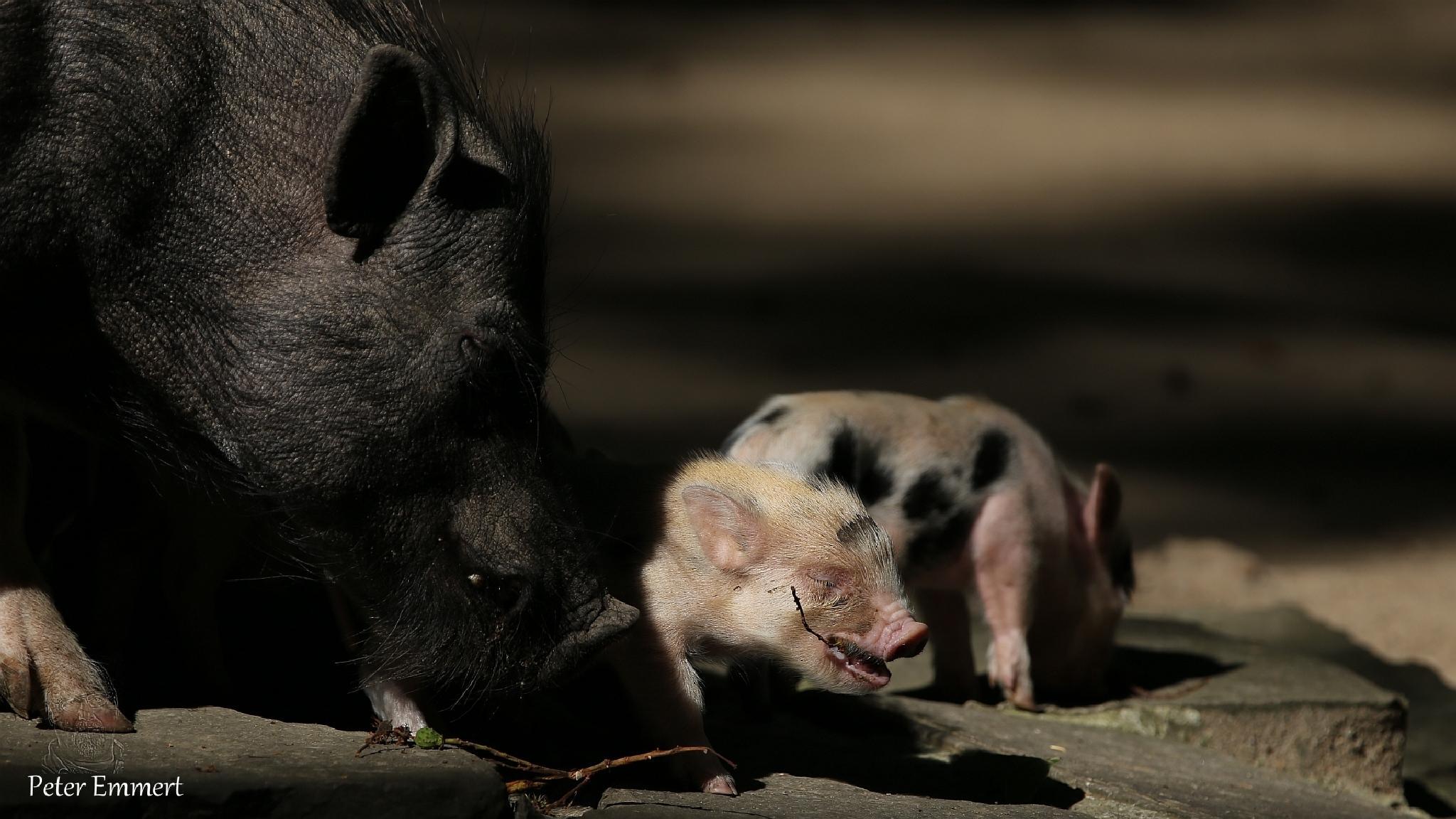 Photo in Animal #schwein #mini #säugetier