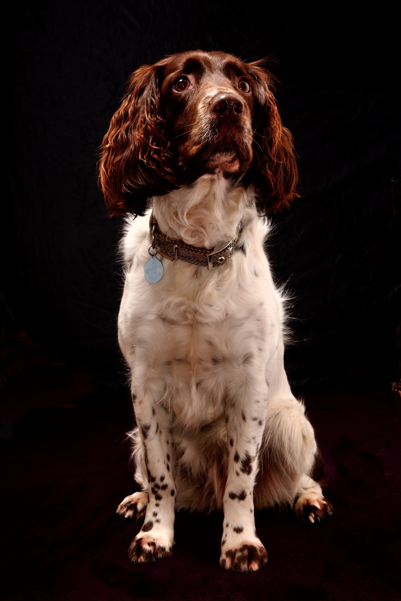 Springer Spaniel sat to attention by bfstubbs
