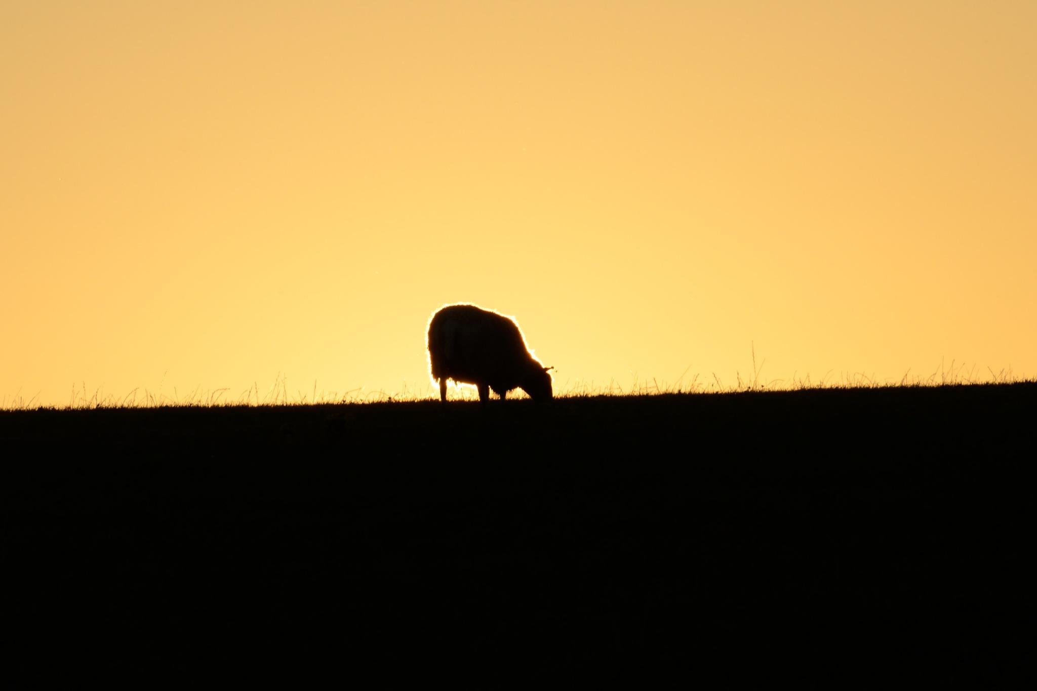 Ovine sunset by bfstubbs