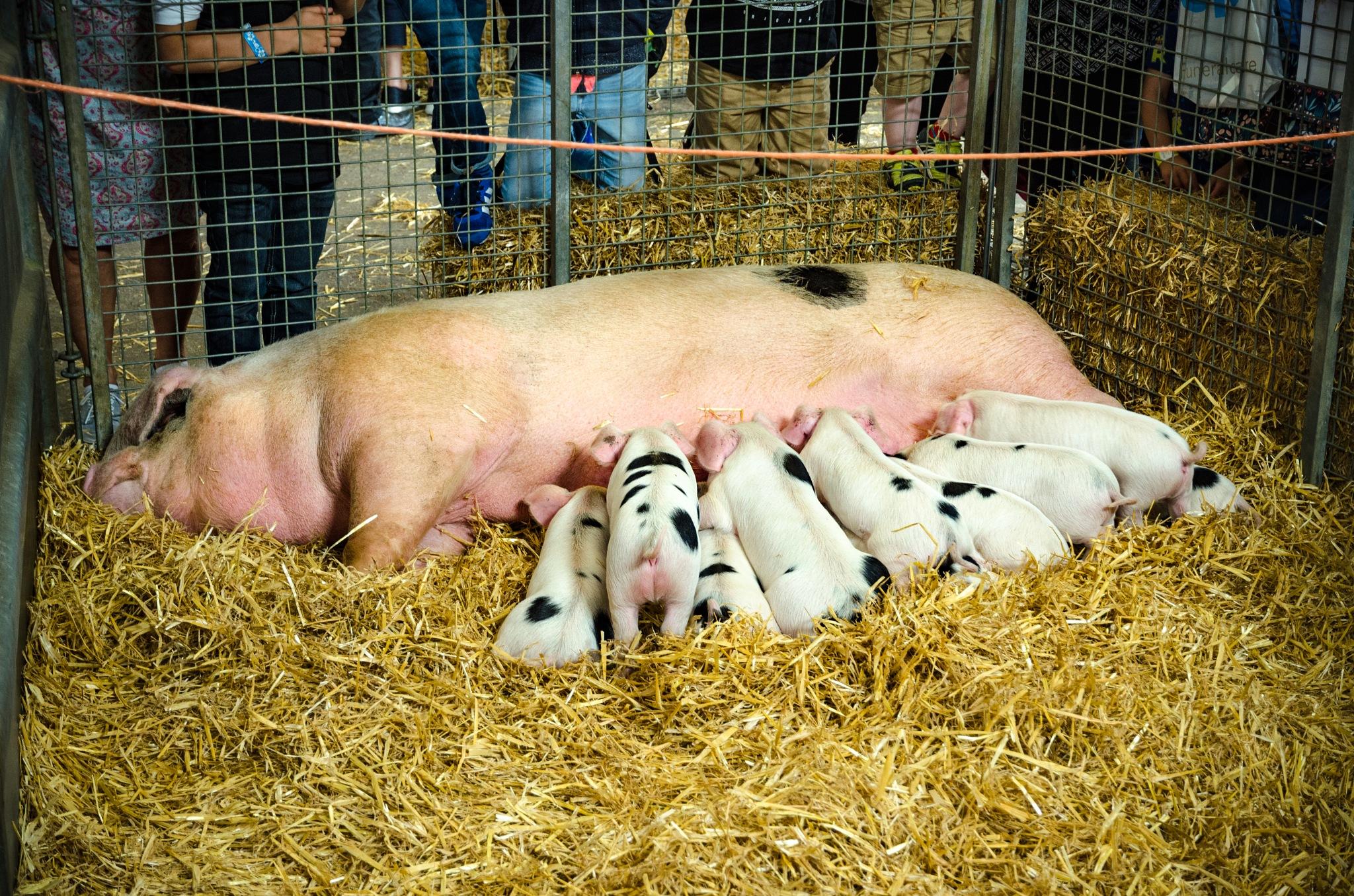 Suckling piglets by bfstubbs