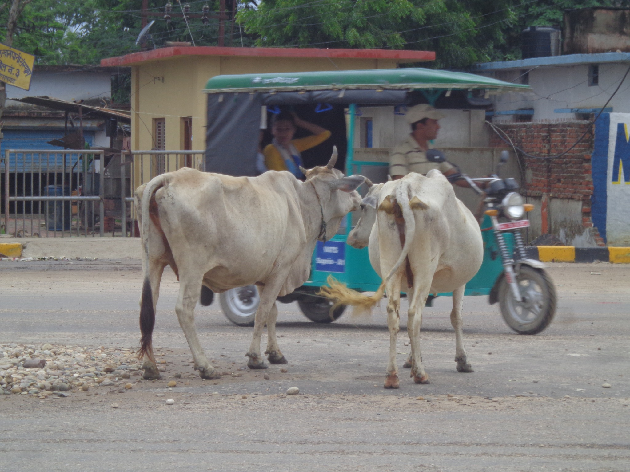 even cow are also a vehicles in ancient time  by mohammad nihal akhtar