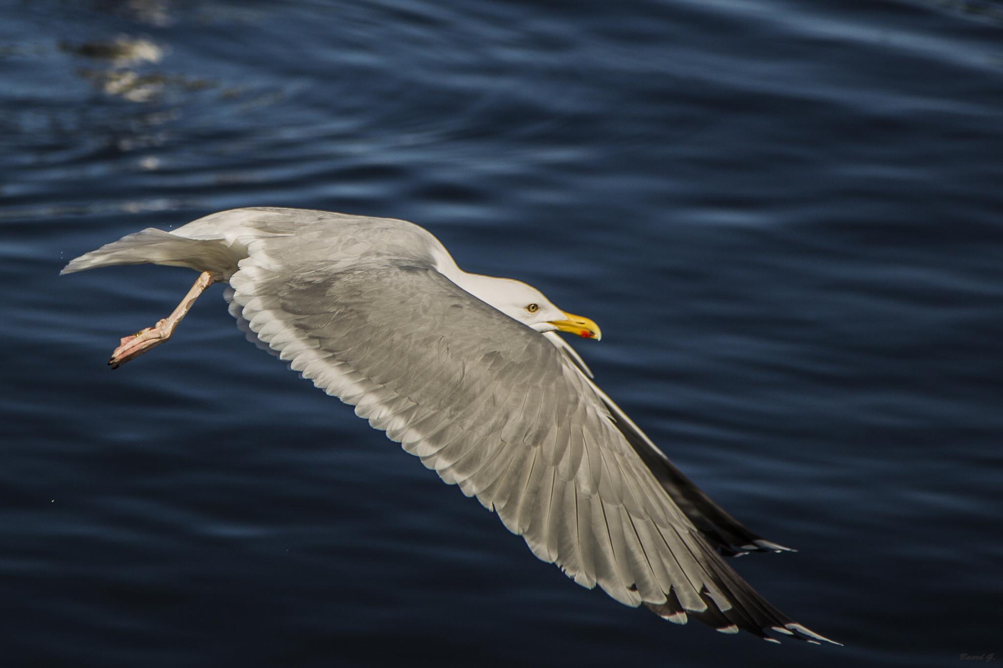 Fly bird fly! by Baard Groedeland