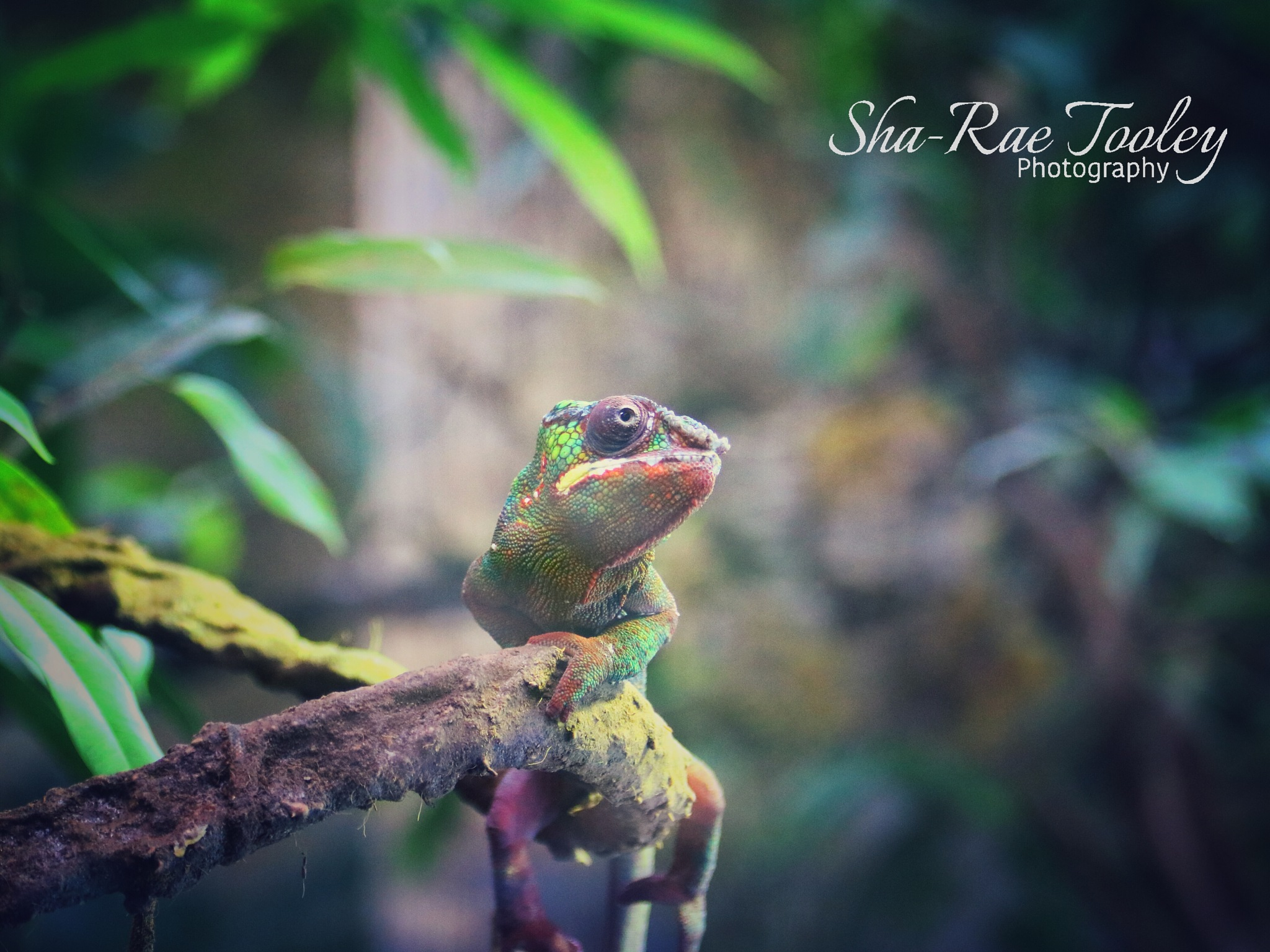 Chameleon  by Sha-Rae Prevost-Tooley