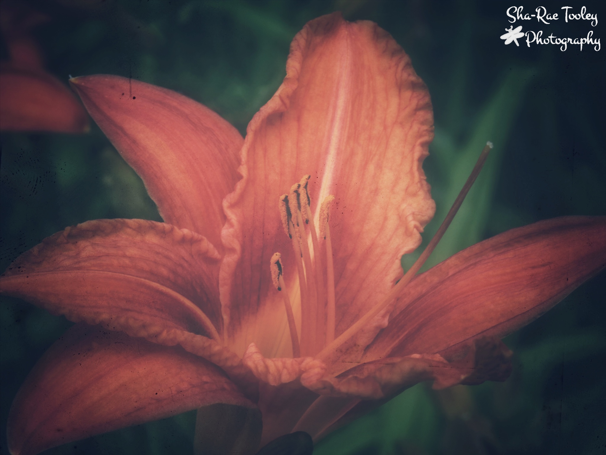 Lily by Sha-Rae Prevost-Tooley