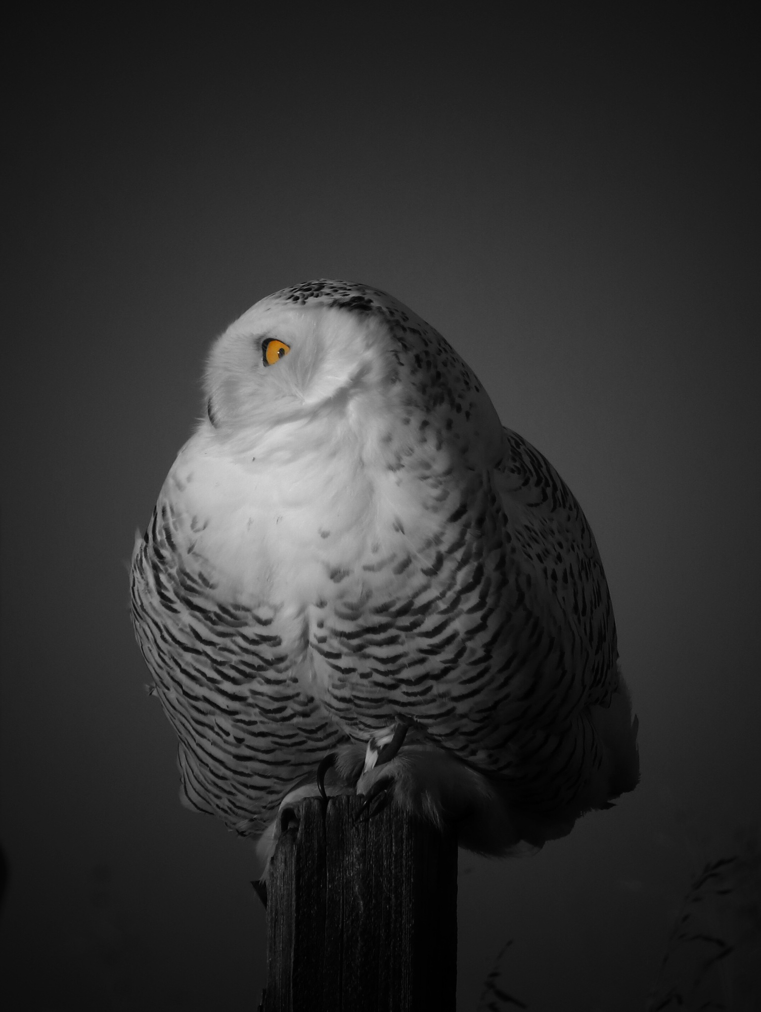 Snowy Owl in Black & White by Sha-Rae Prevost-Tooley