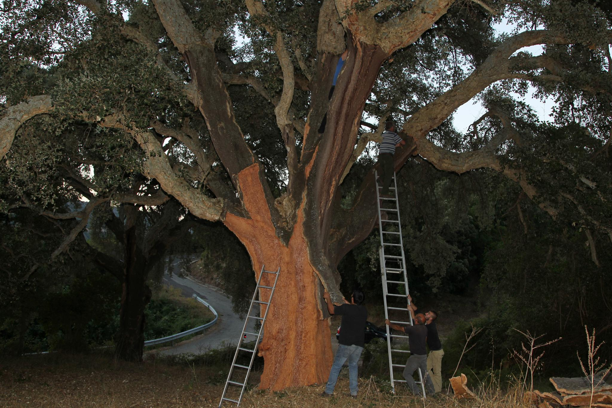 Extraction of the cork in the old trees in Sardinia by Edos Foto Orroli