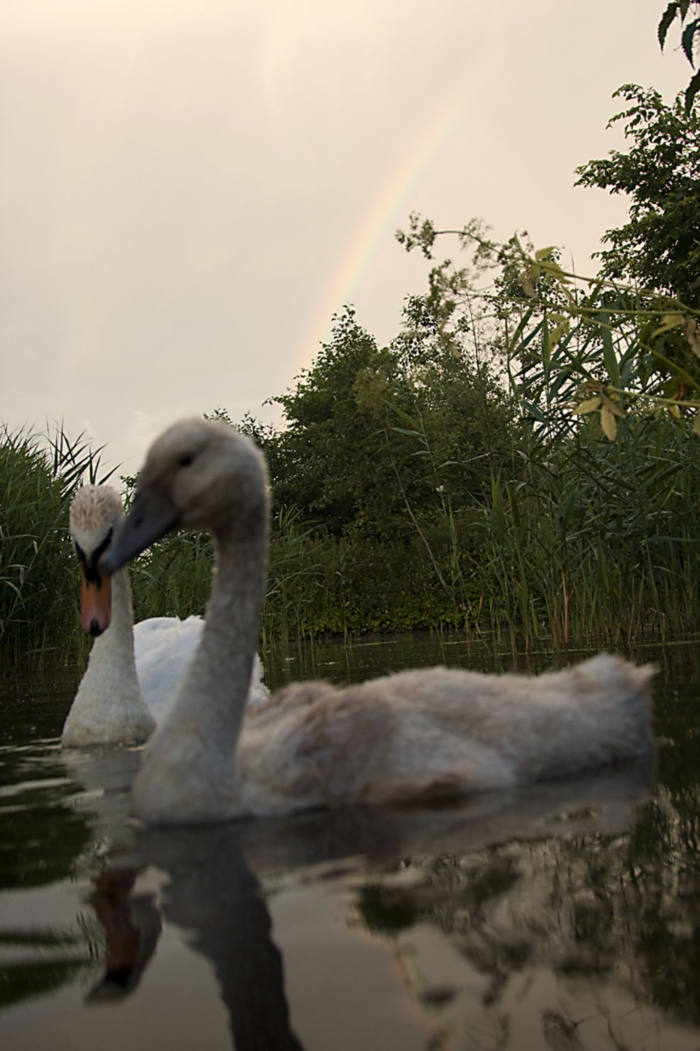 Rainbow Swan by Kaje