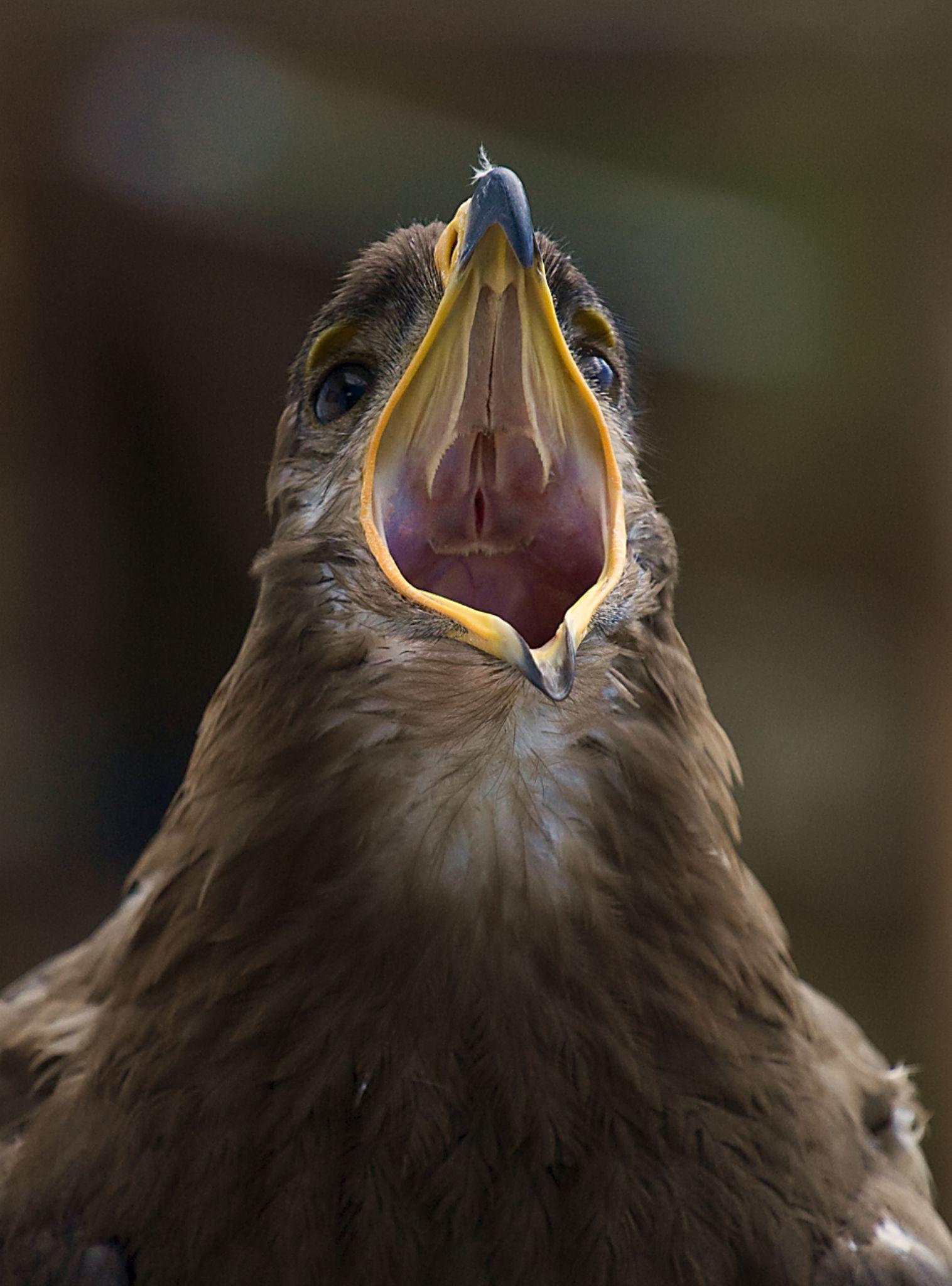 Screaming Steppe eagle by Kaje