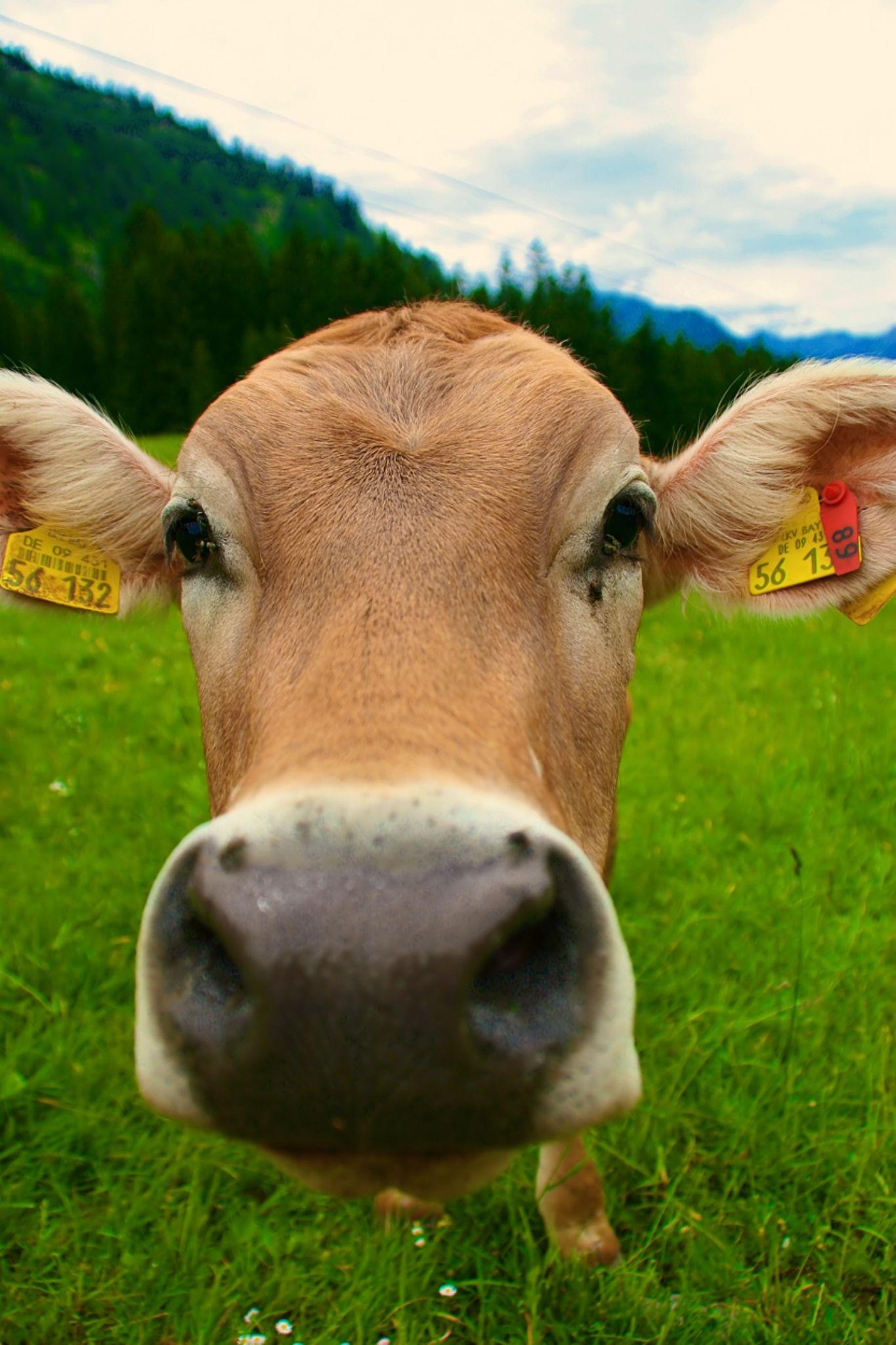 Alpine Cow by Kaje