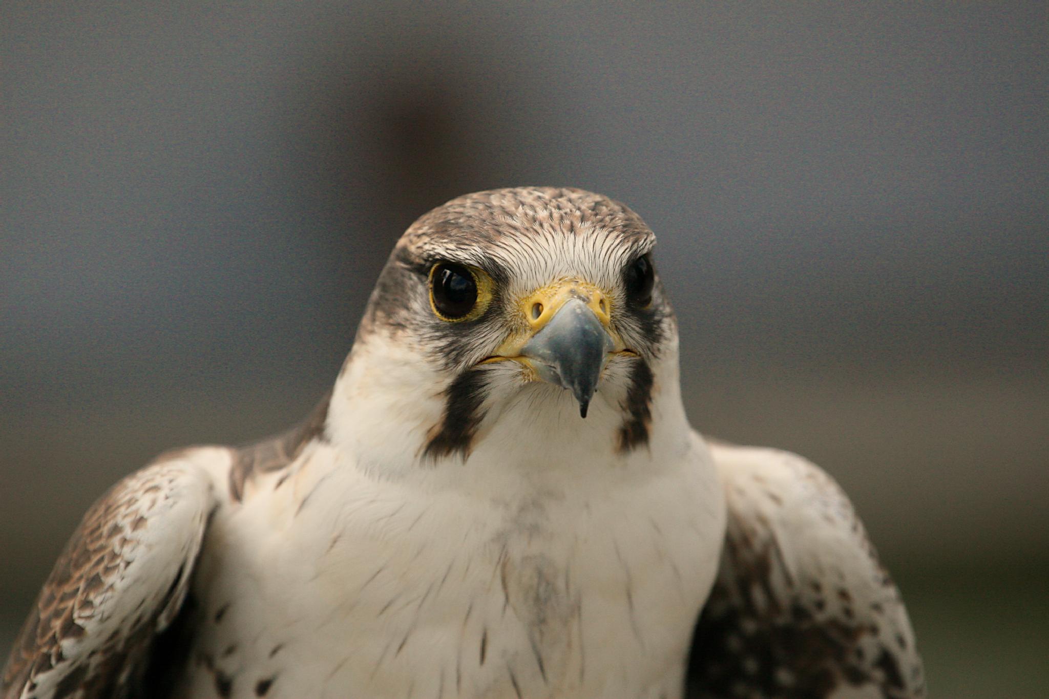 Falcon ready for Take Off by Kaje