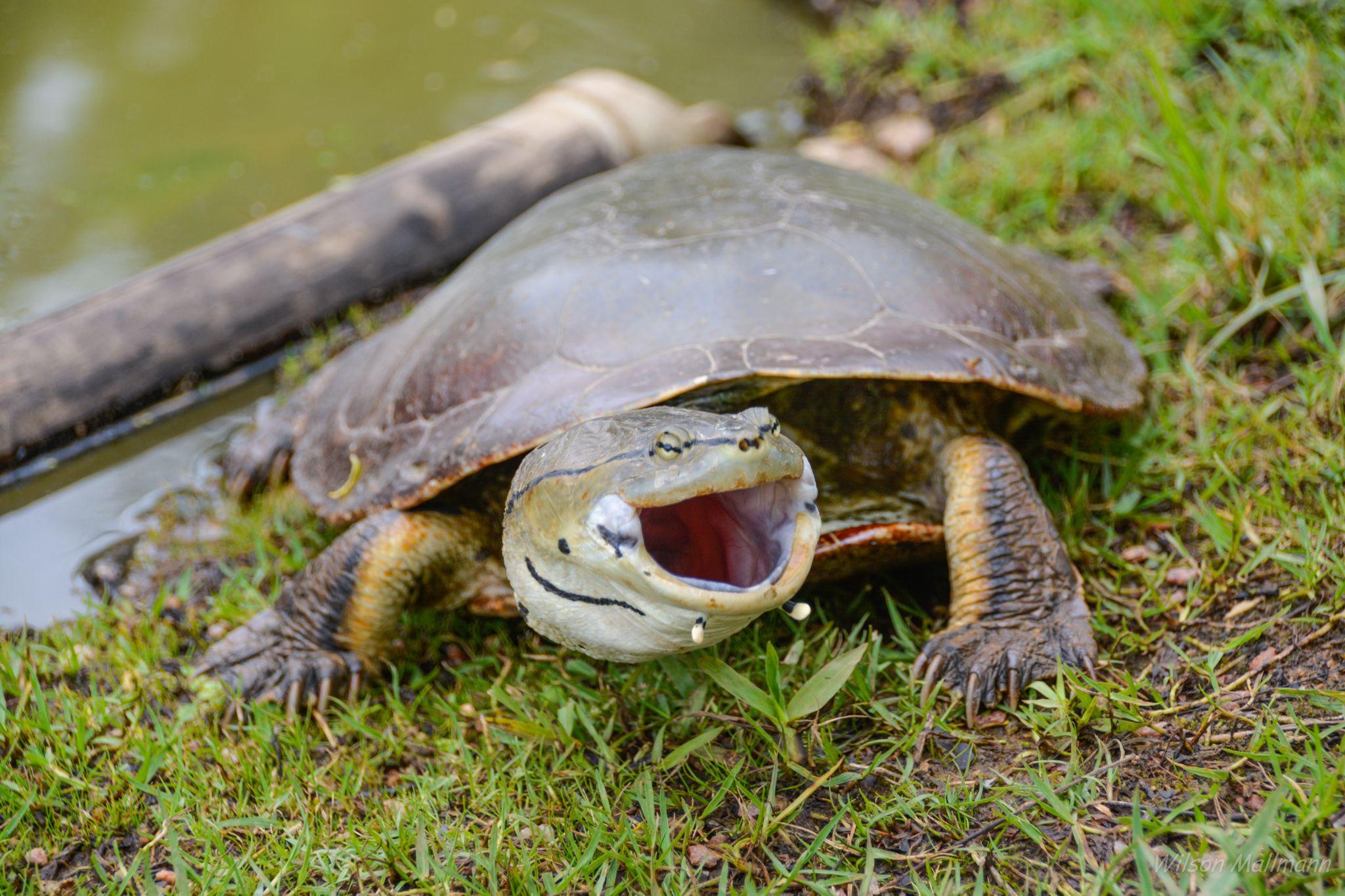 Turtle by Wilson Mallmann