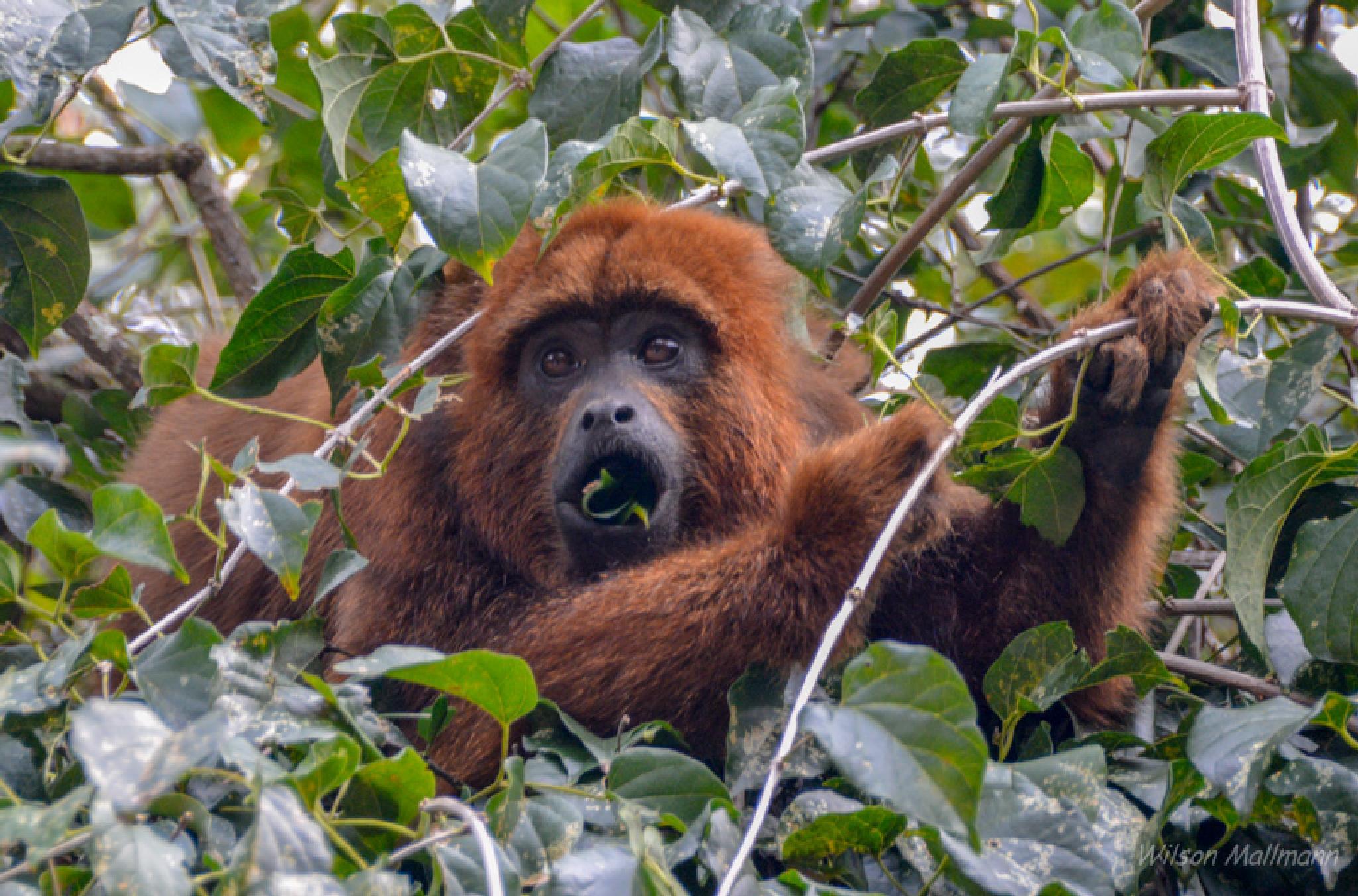 Monkey by Wilson Mallmann