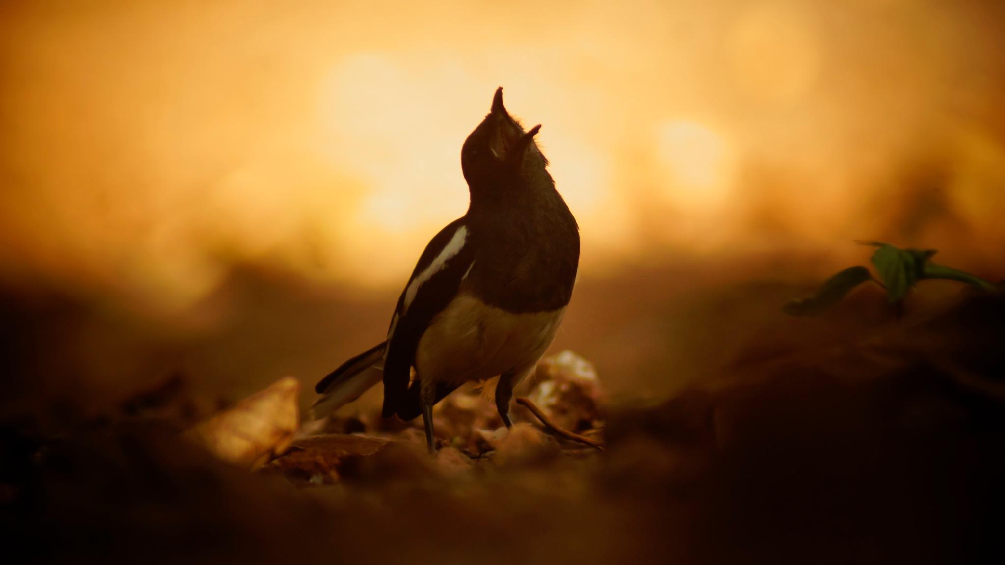 Oriental Magpie Robin by Anas Hashim