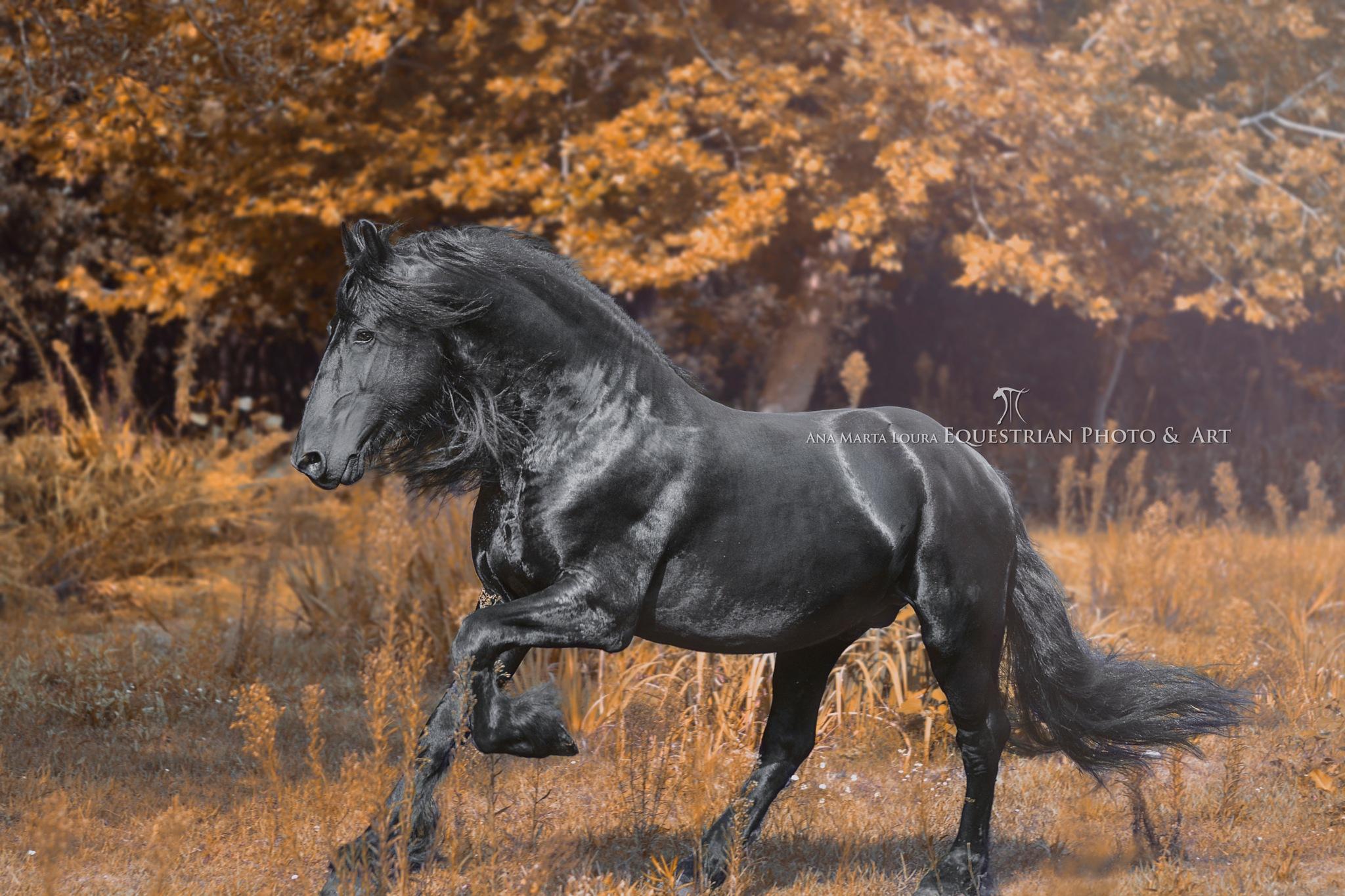 Friesian Stallion by Ana Marta Loura Equestrian Productions