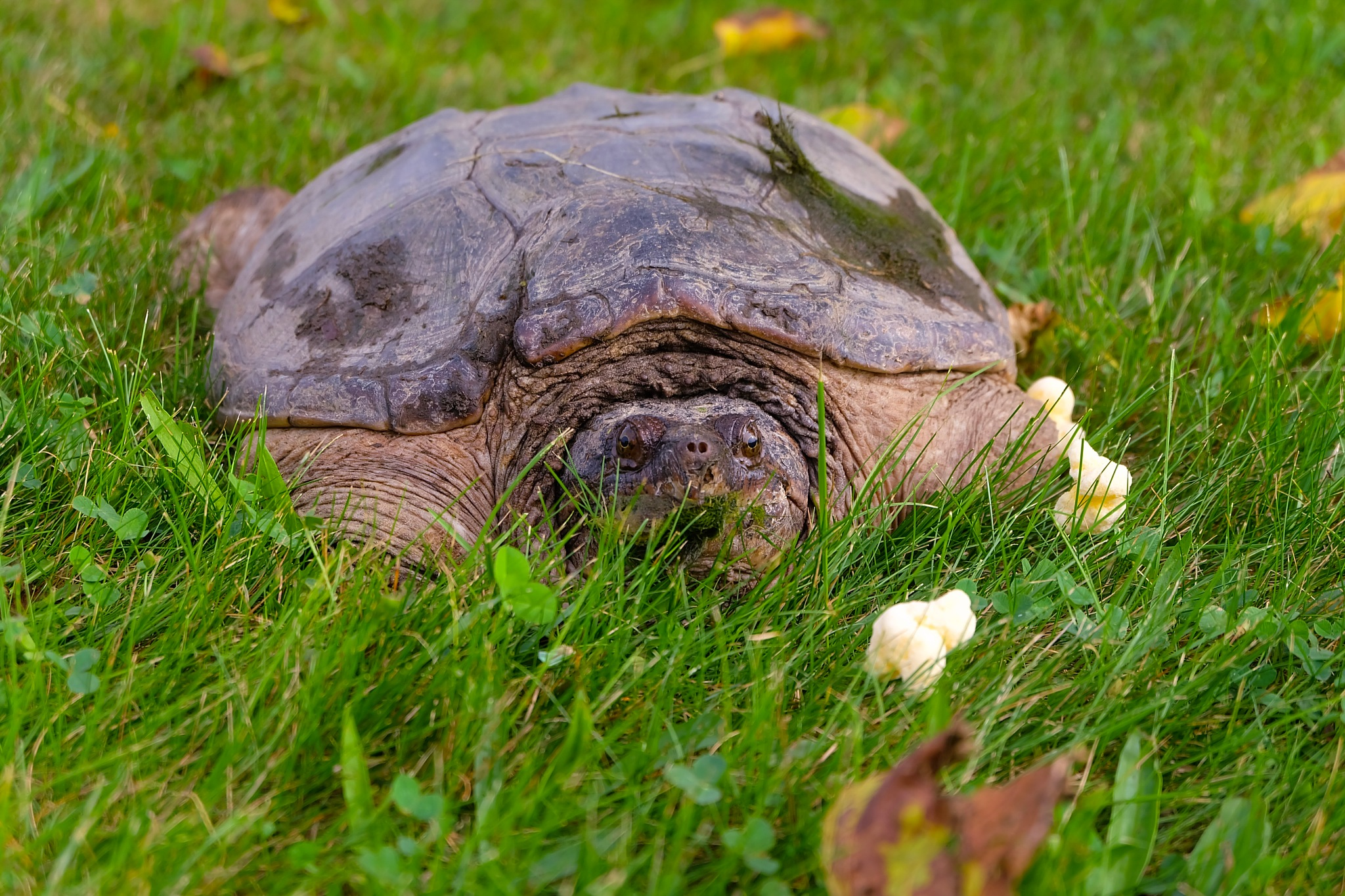 Snapping Turtle  by karajean17