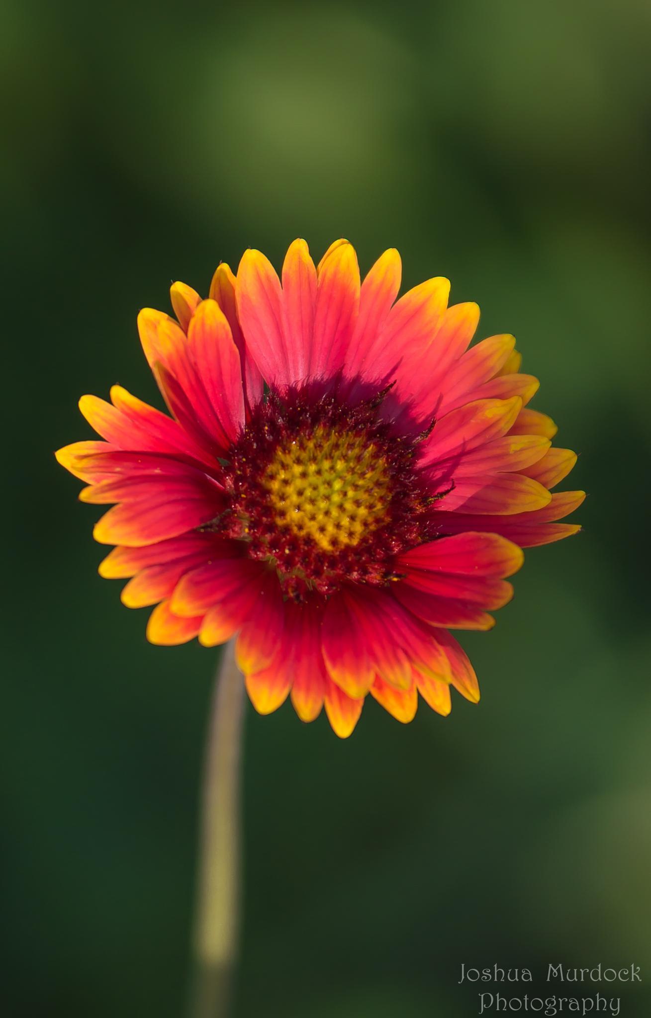 The Blanket Flower by Joshua Murdock -     Murdock Photography