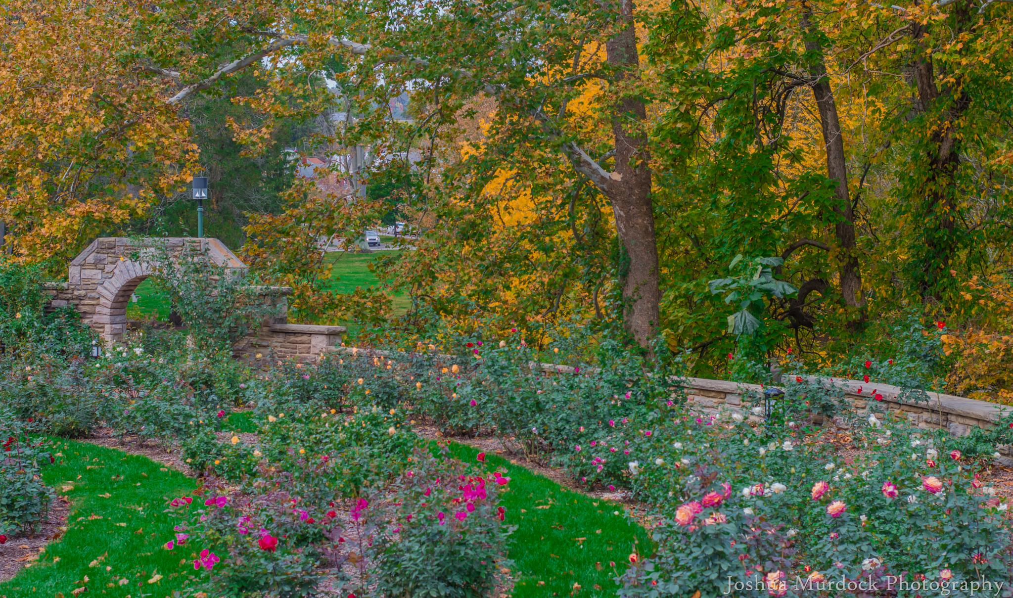 Photo in Nature #rose garden #roses #colors #fall #leafs