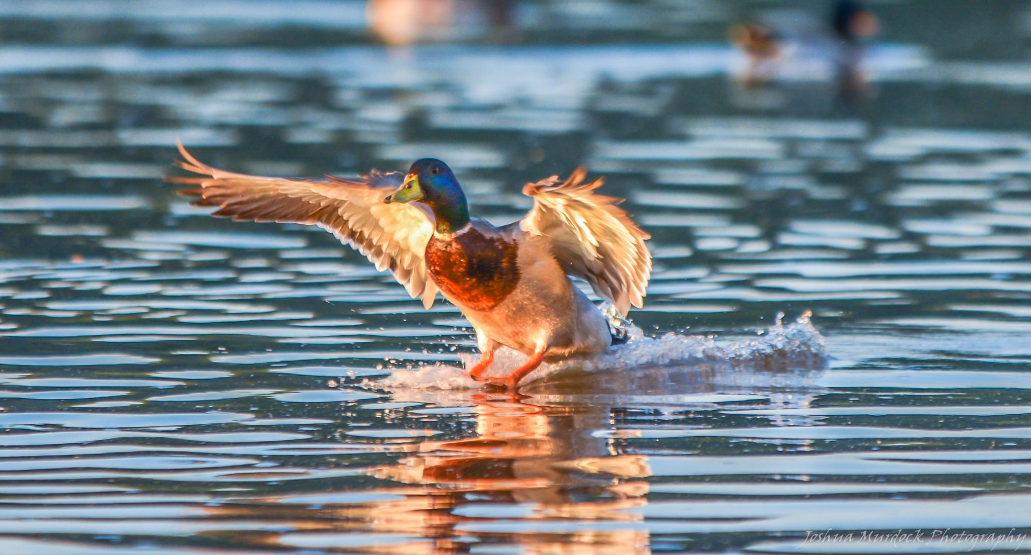 Photo in Animal #ducks #mallards #river #action #flight #animals