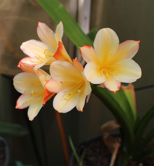 Stella De Oro Daylily by daylilies123