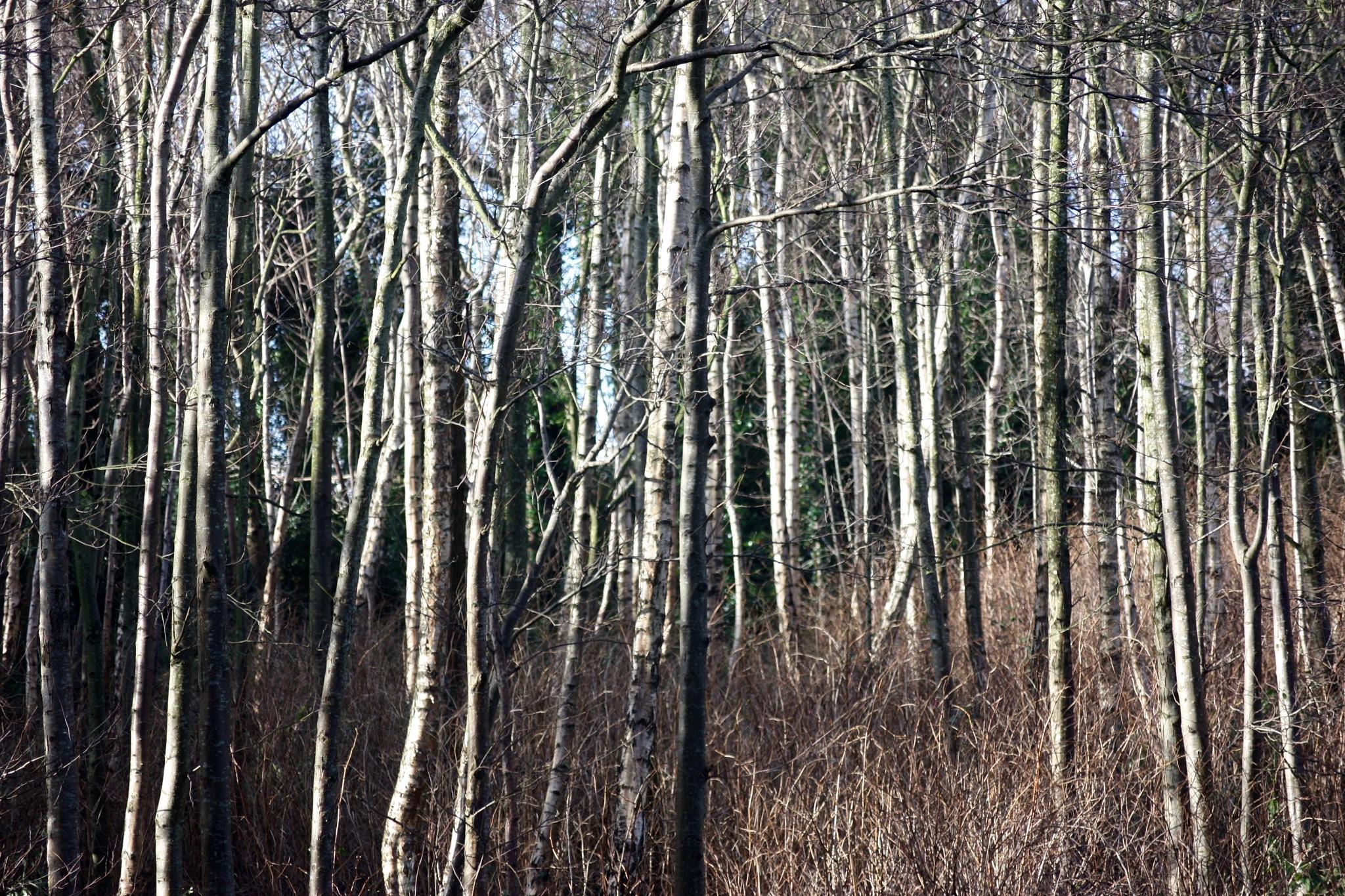 Winter trees # 1. by Geoff.McElwaine