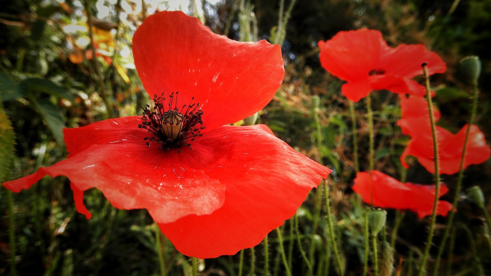 A certain idea of poppy.... by Jackie06