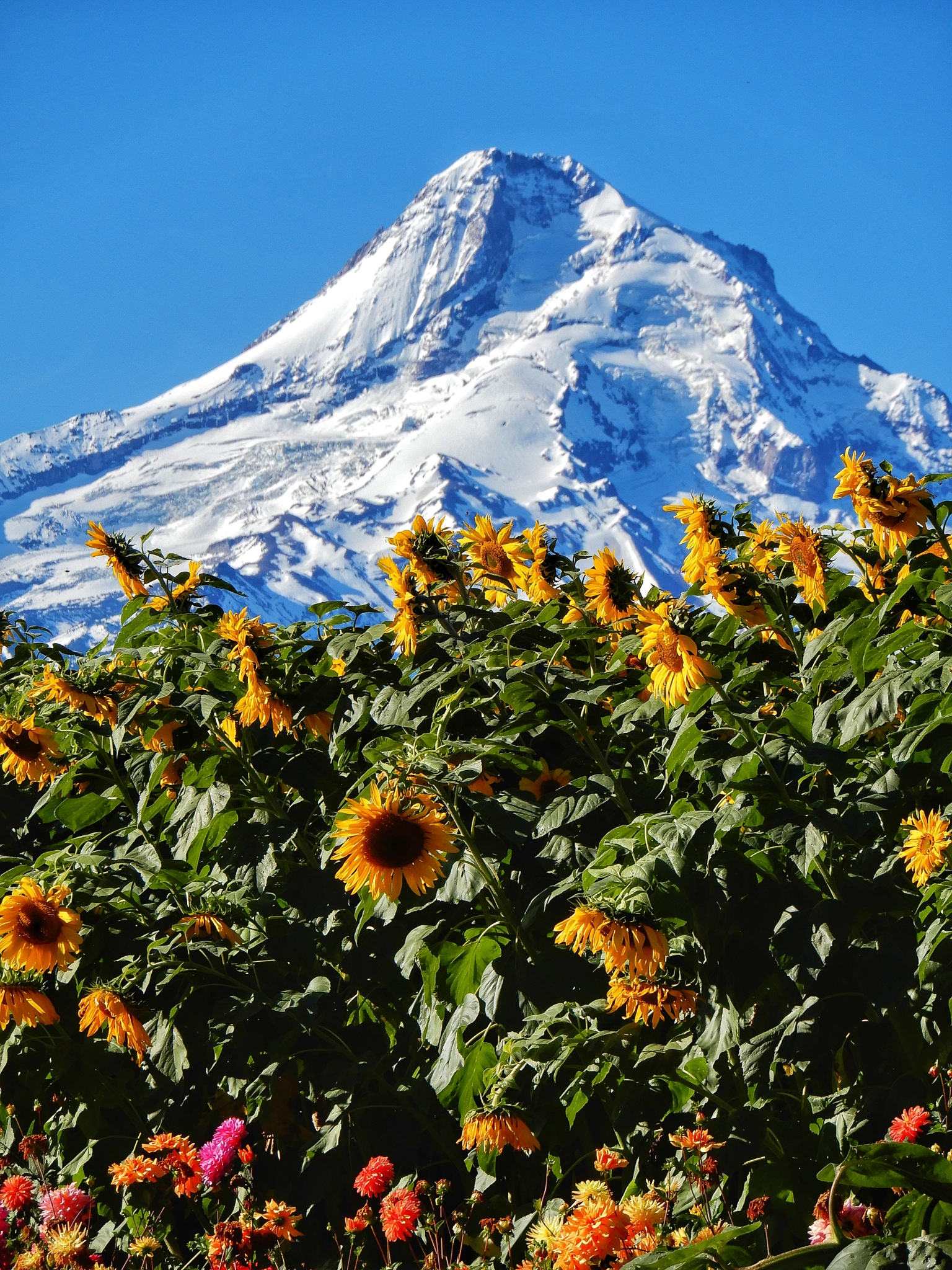 Volcano with sunflowers  by Jackie06