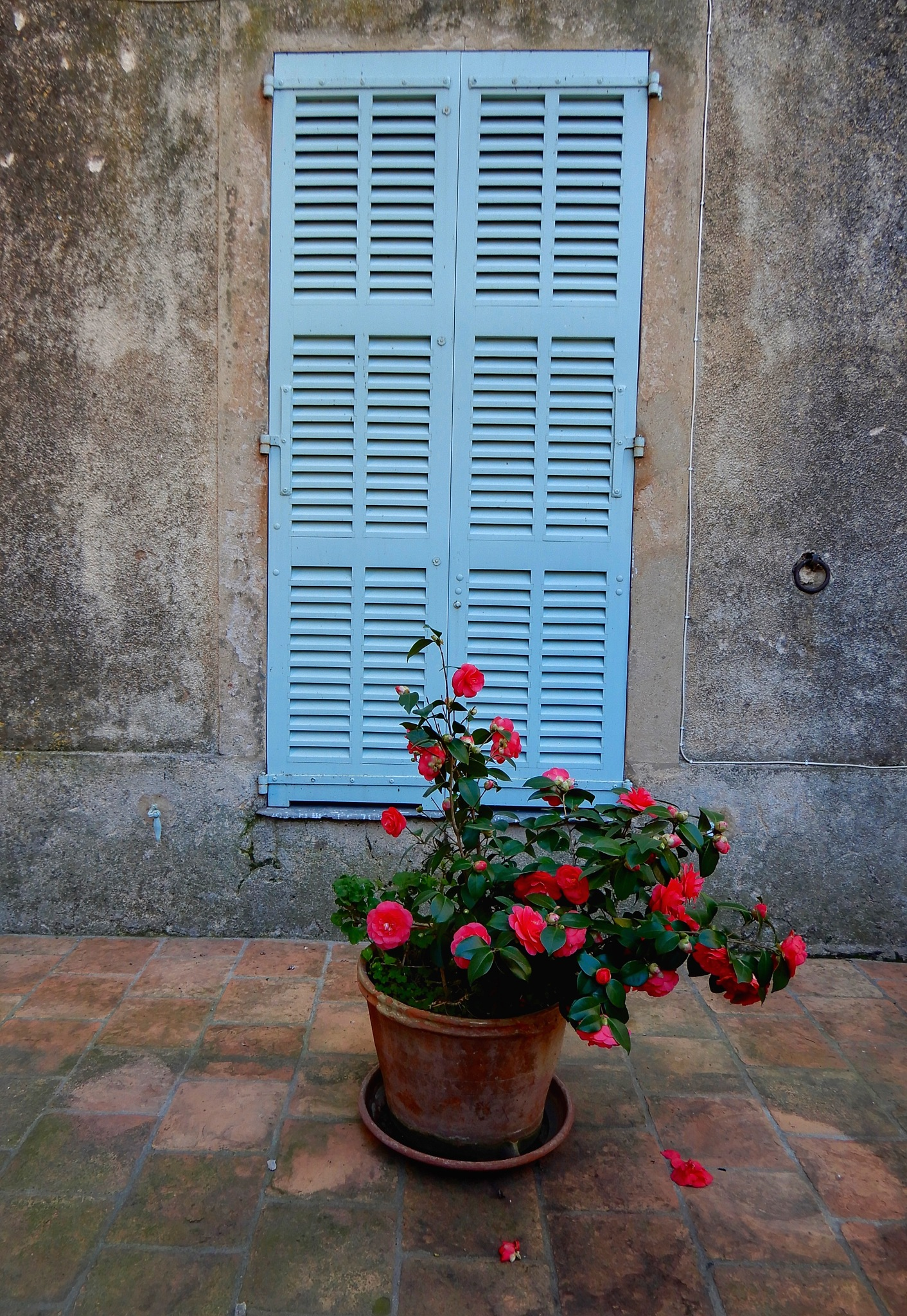 Blue shutters with a camelia  by Jackie06