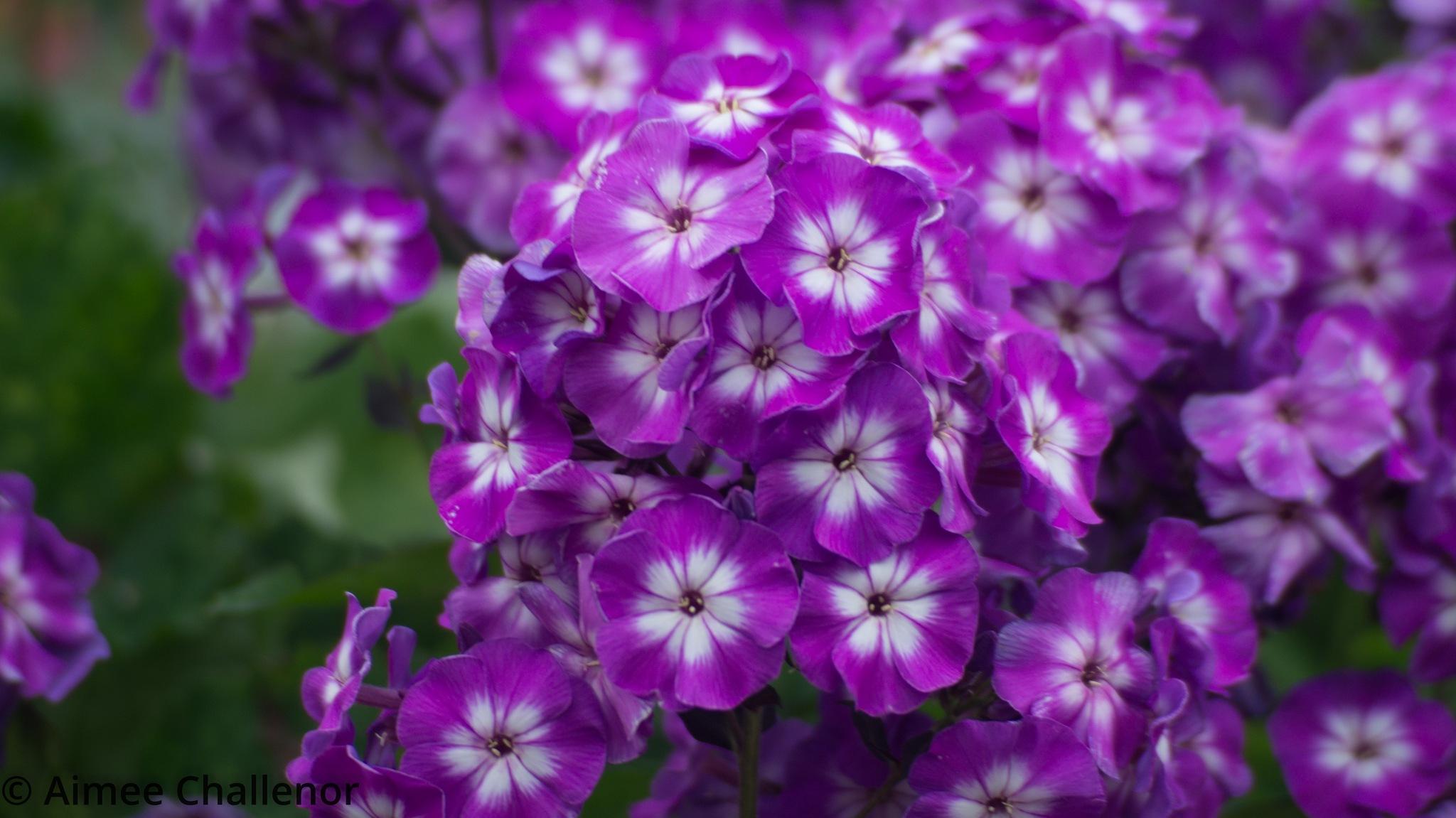 Bundle of Purple by Aimee Challenor