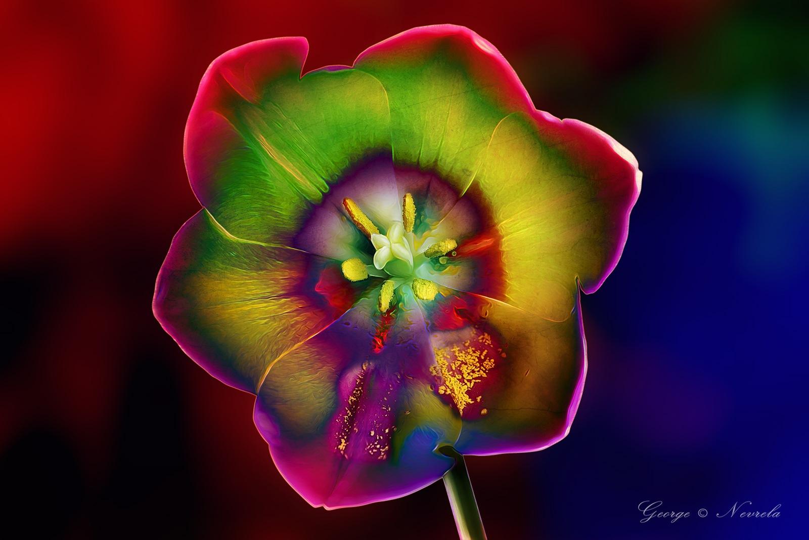 Rainbow Tulip by GeorgeNevrela