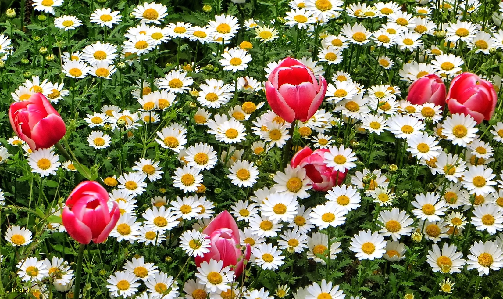 Daisy & Tulip by Bekir Kurt