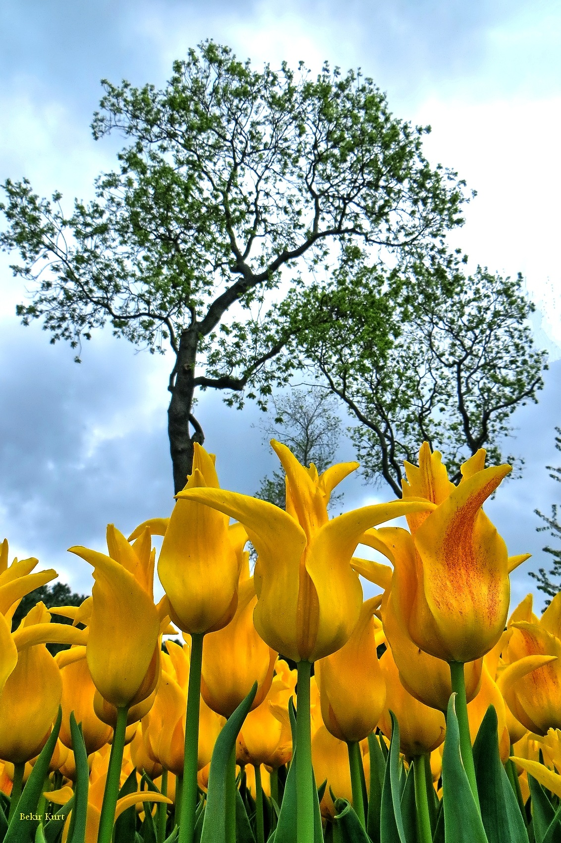 Tulips From Emirgan (2) by Bekir Kurt