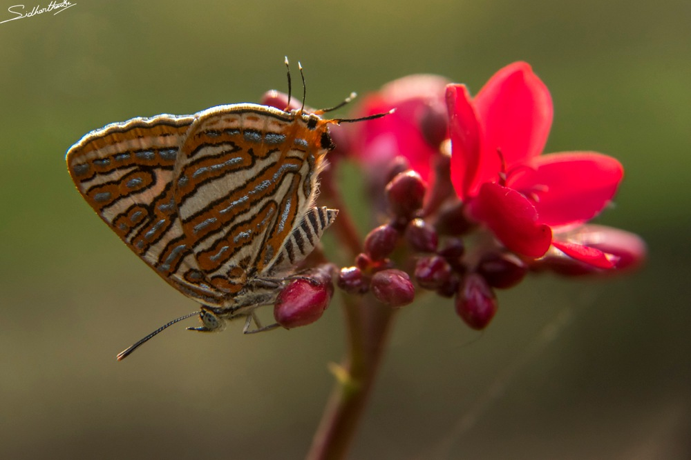 Silverline Butterfly by Sidhartha De