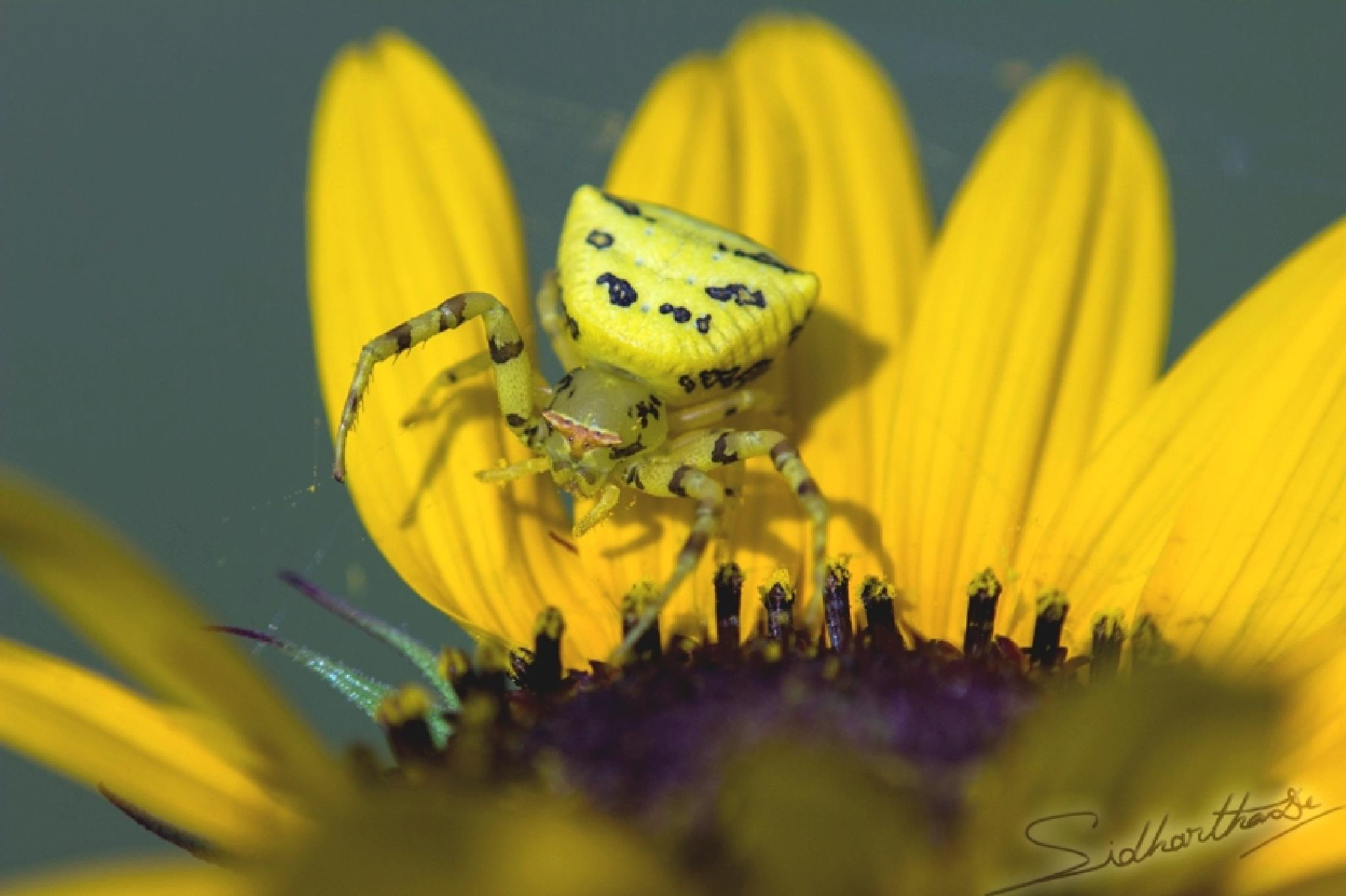 Flower Crab Spider by Sidhartha De