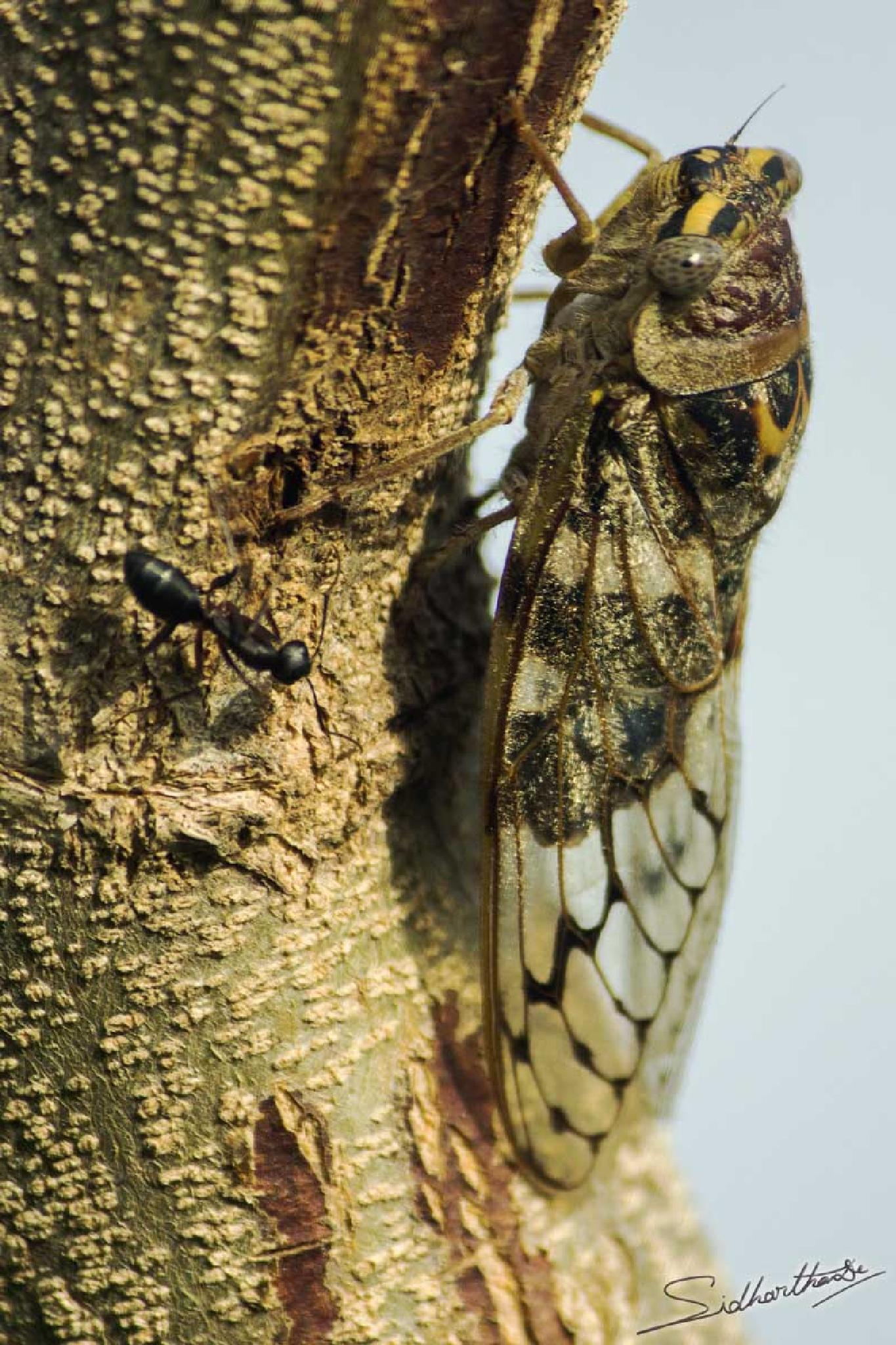 Cicada by Sidhartha De