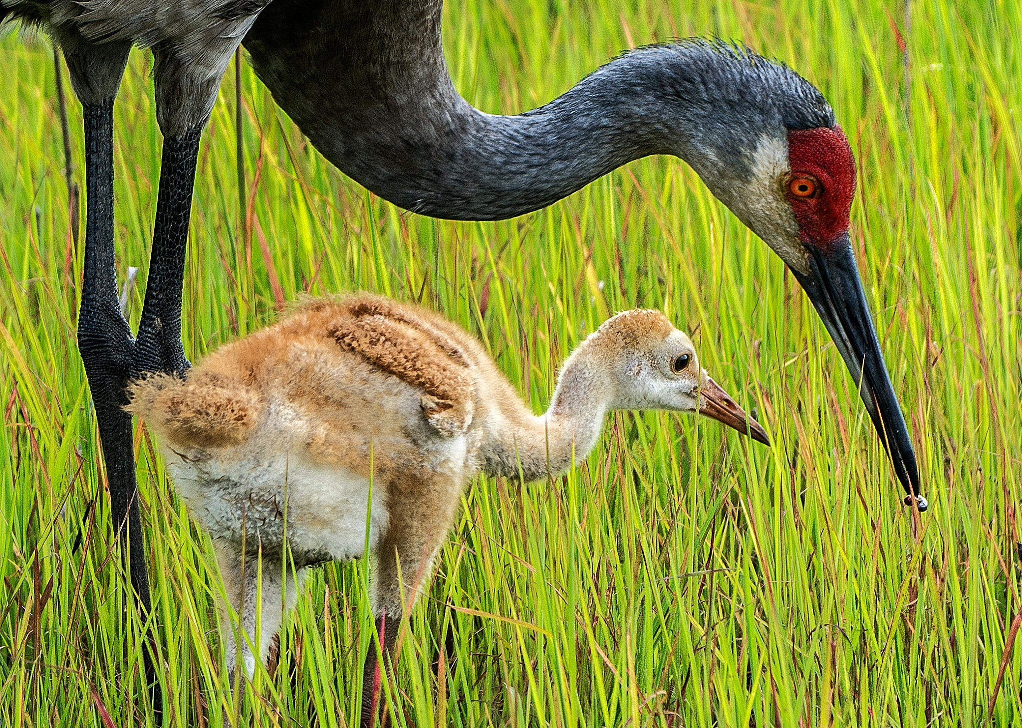 Mother and chick by Joe Saladino