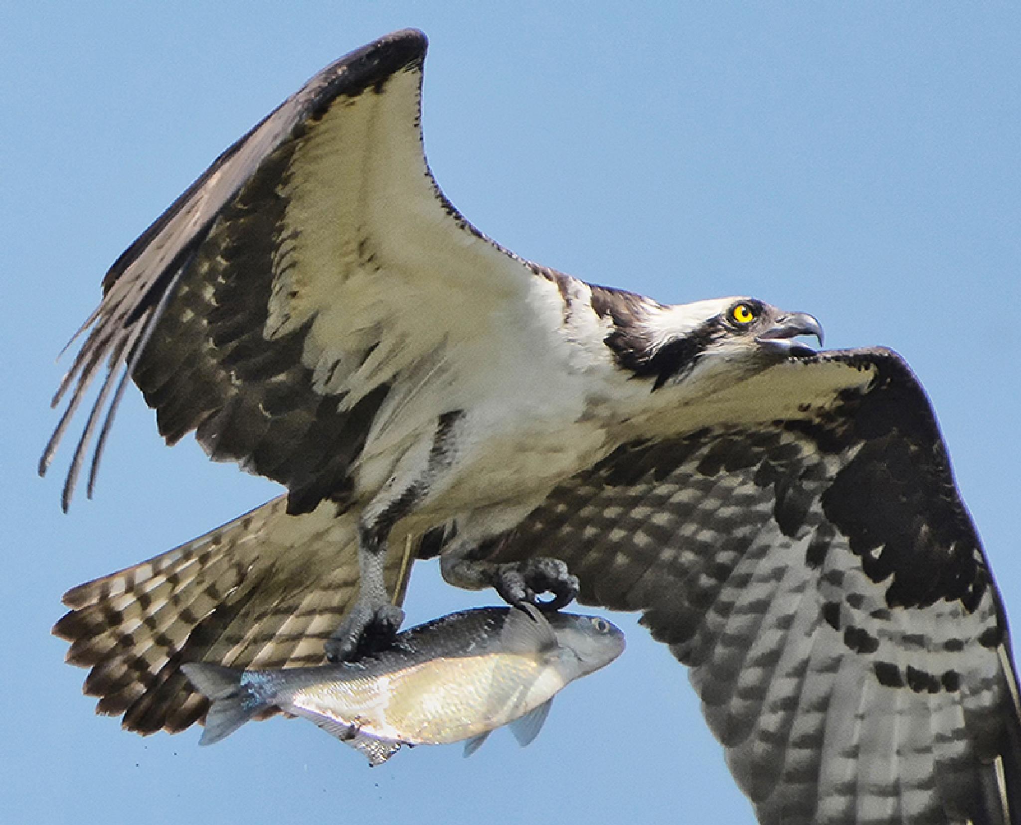 Osprey with fish by Joe Saladino