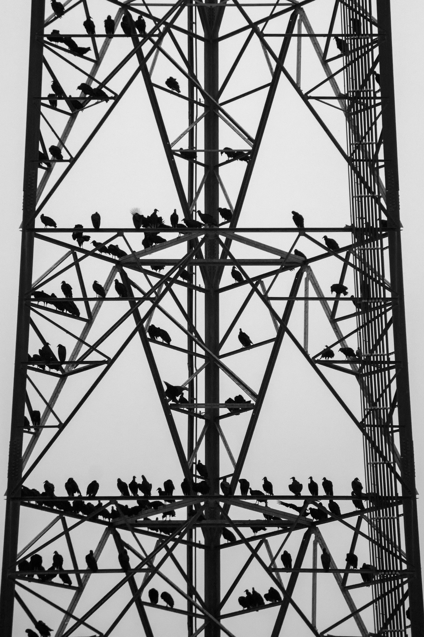 Black Vultures by Joe Saladino