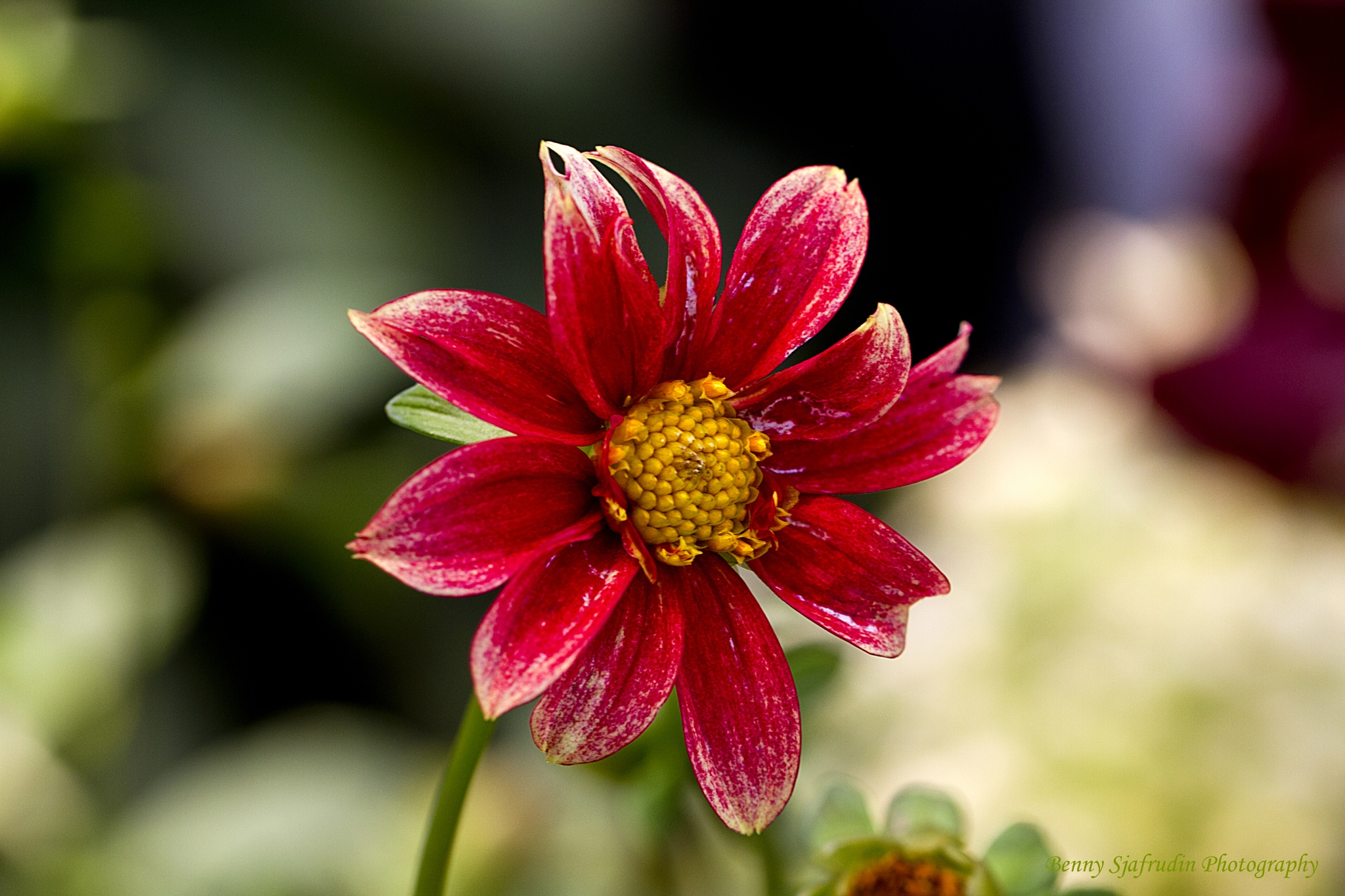 Flower by bennysjafrudin