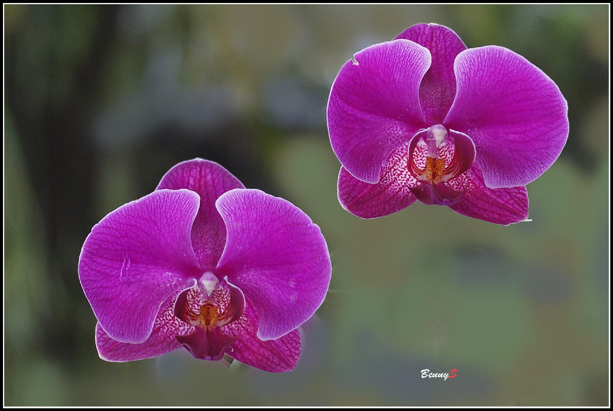 Orchid by bennysjafrudin