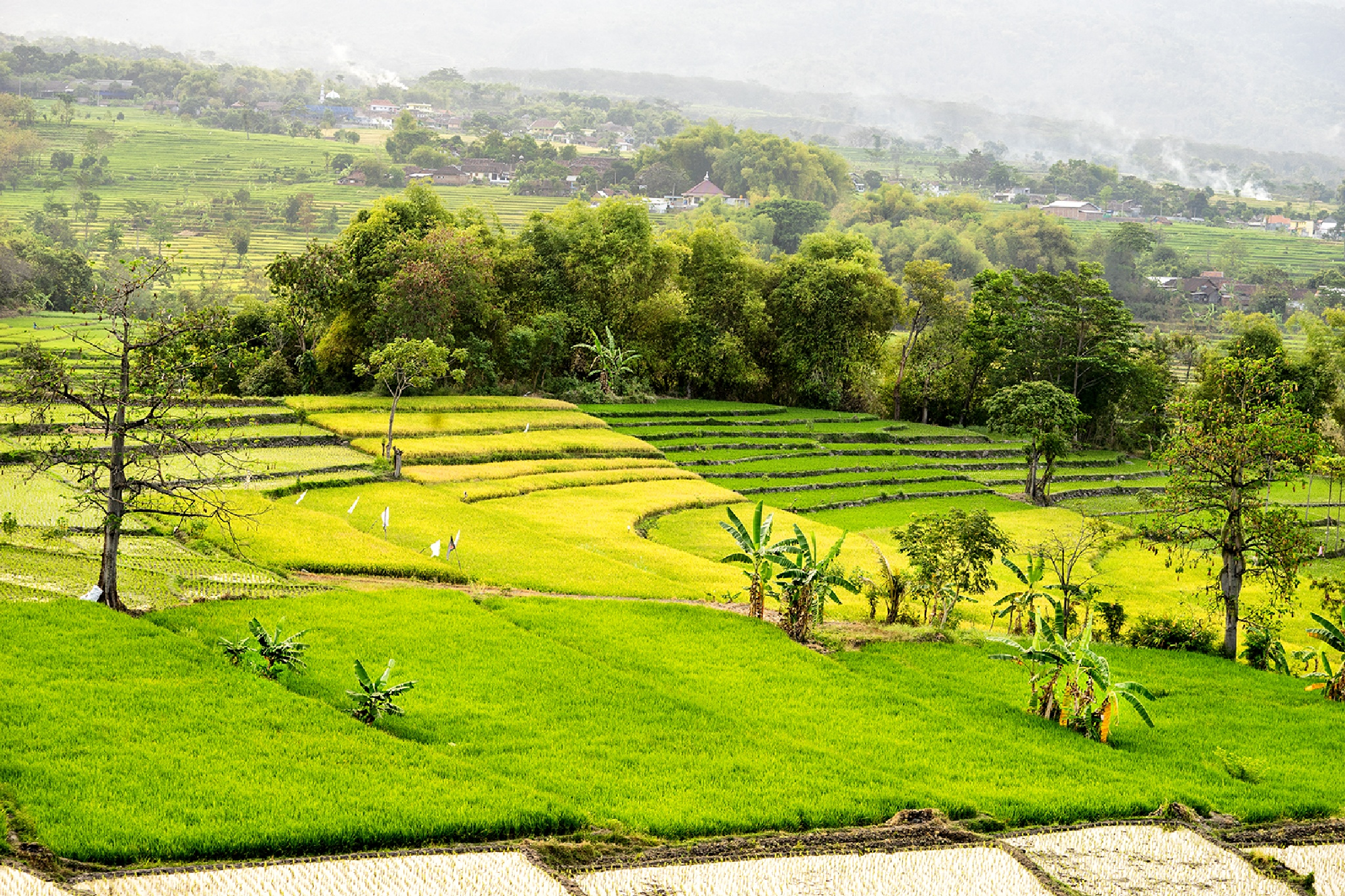 Rice field by bennysjafrudin