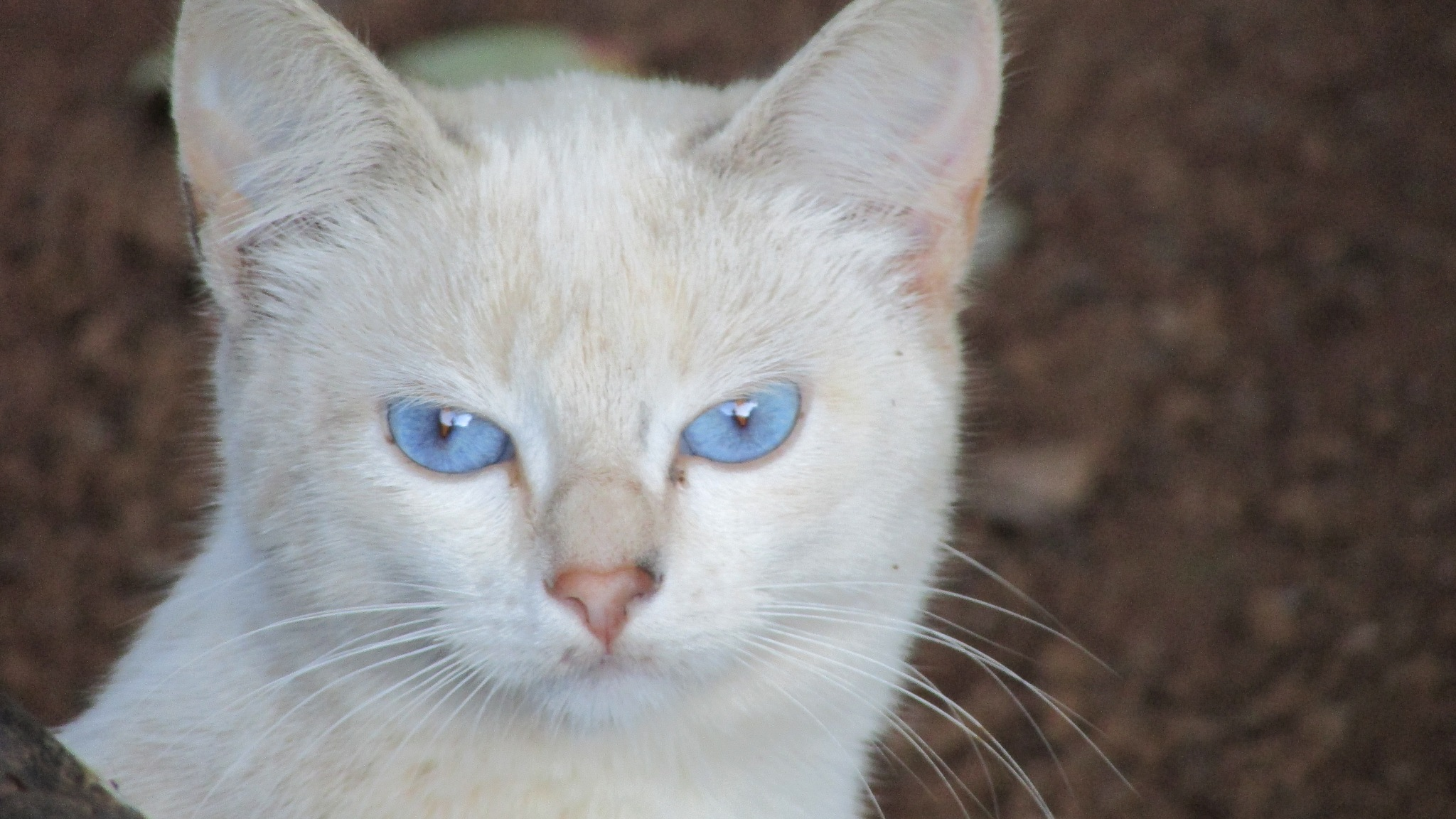 Blue eyed cat by railanderguilherme