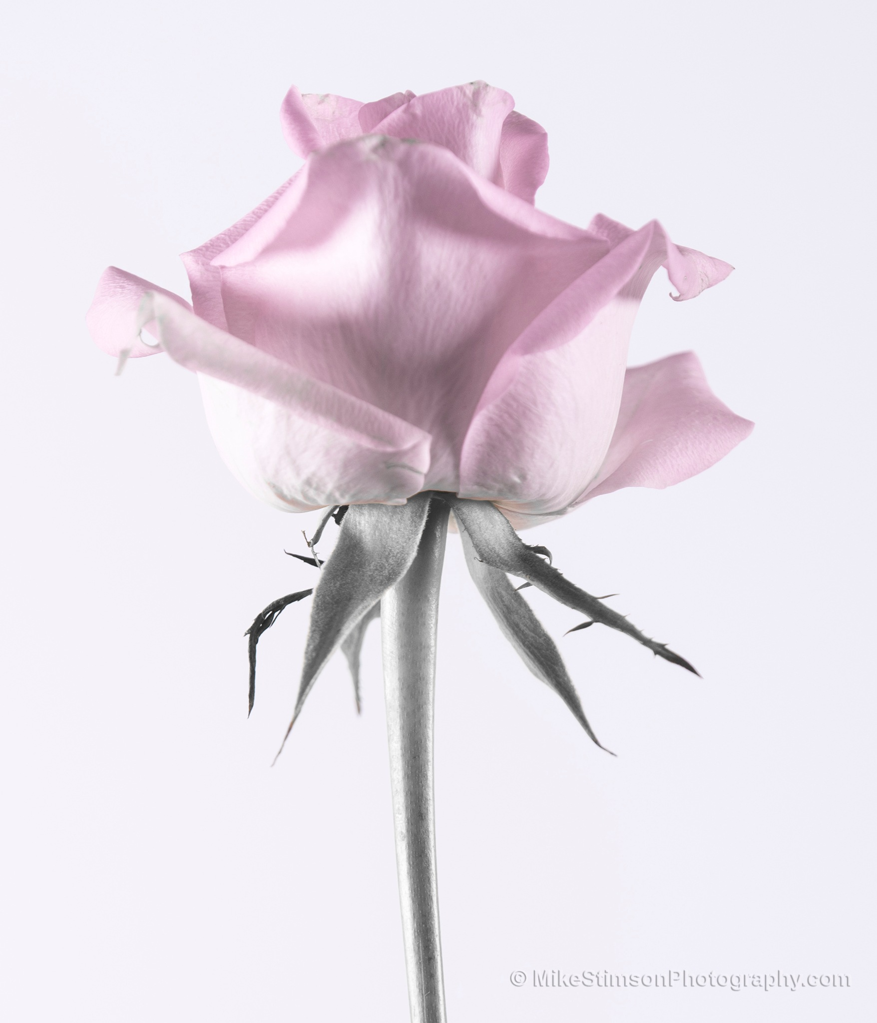 Pink rose on white by Mike Stimson