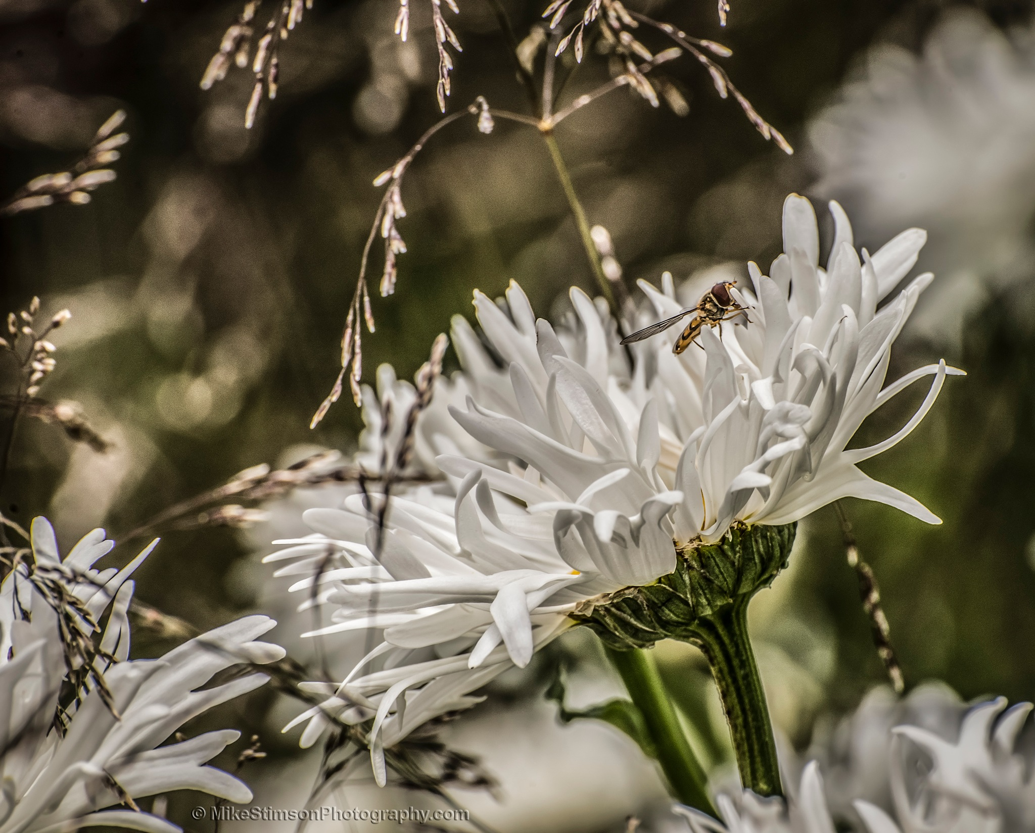Large white daisy by Mike Stimson