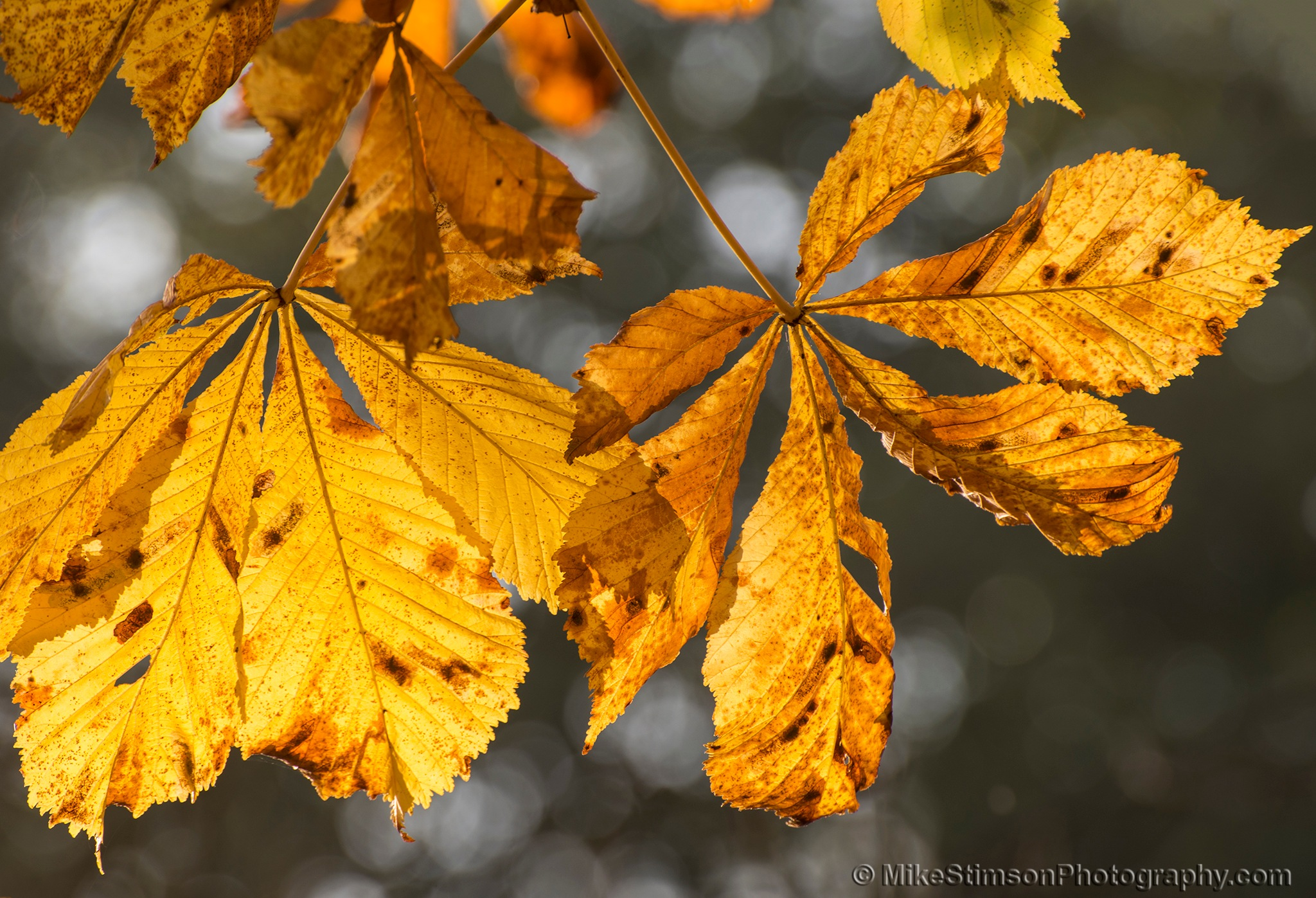 Horse Chestnut leaves - Autumn 3 by Mike Stimson