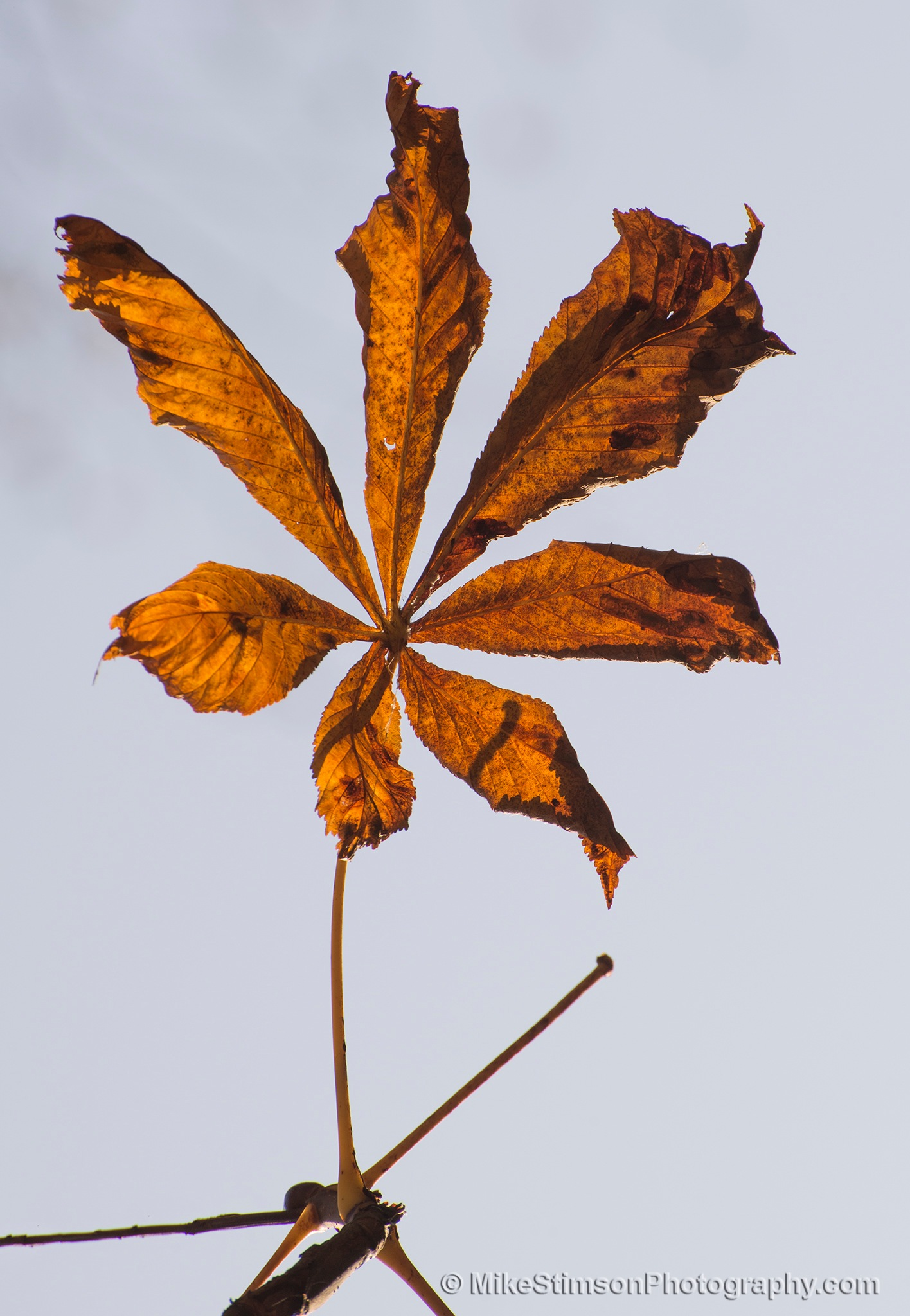 Horse Chestnut leaves - Autumn 1 by Mike Stimson
