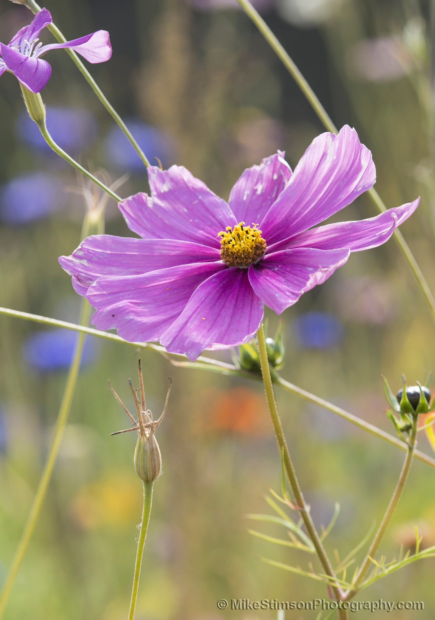 Mauve Cosmos flower by Mike Stimson