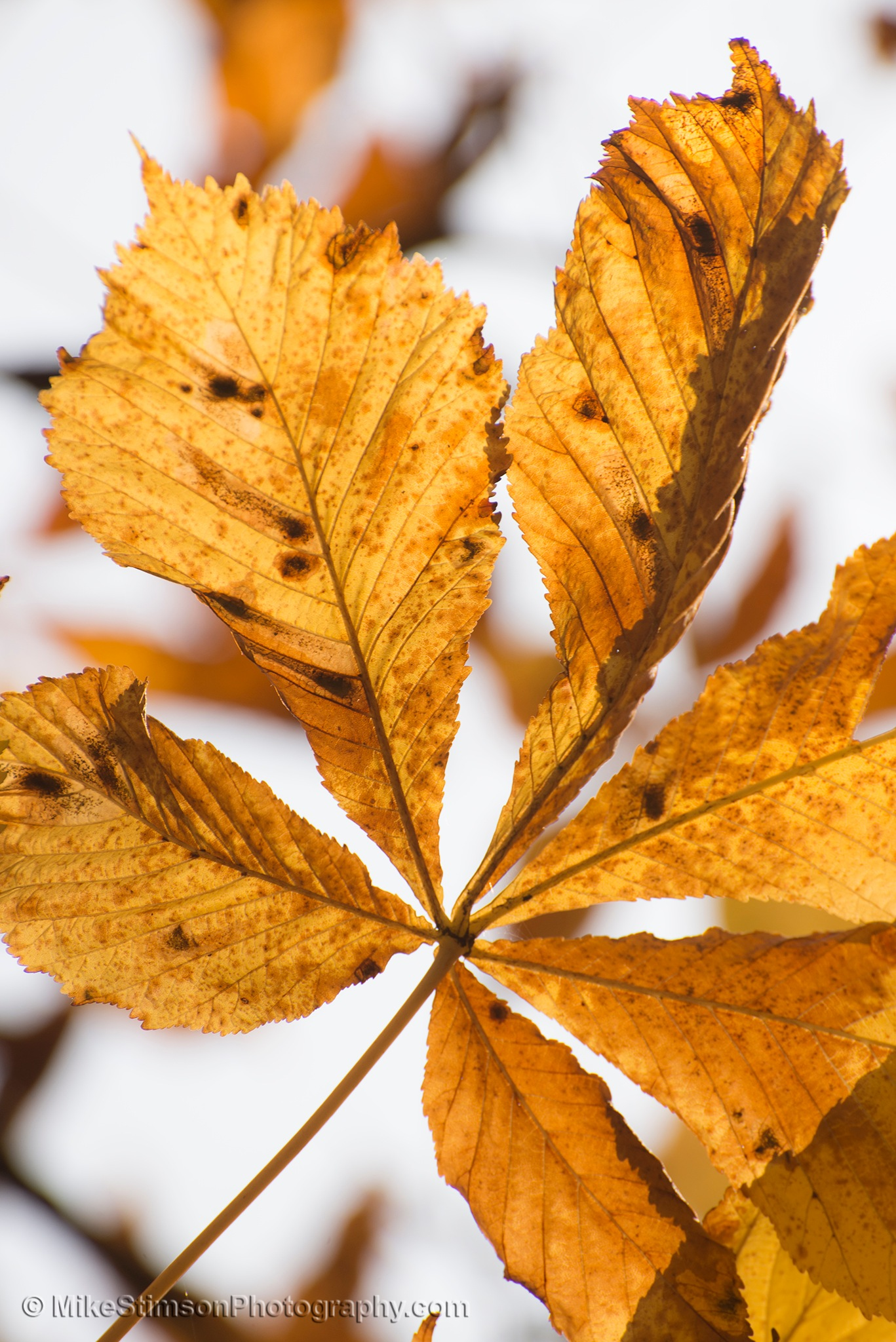 Horse Chestnut leaves - Autumn 2 by Mike Stimson