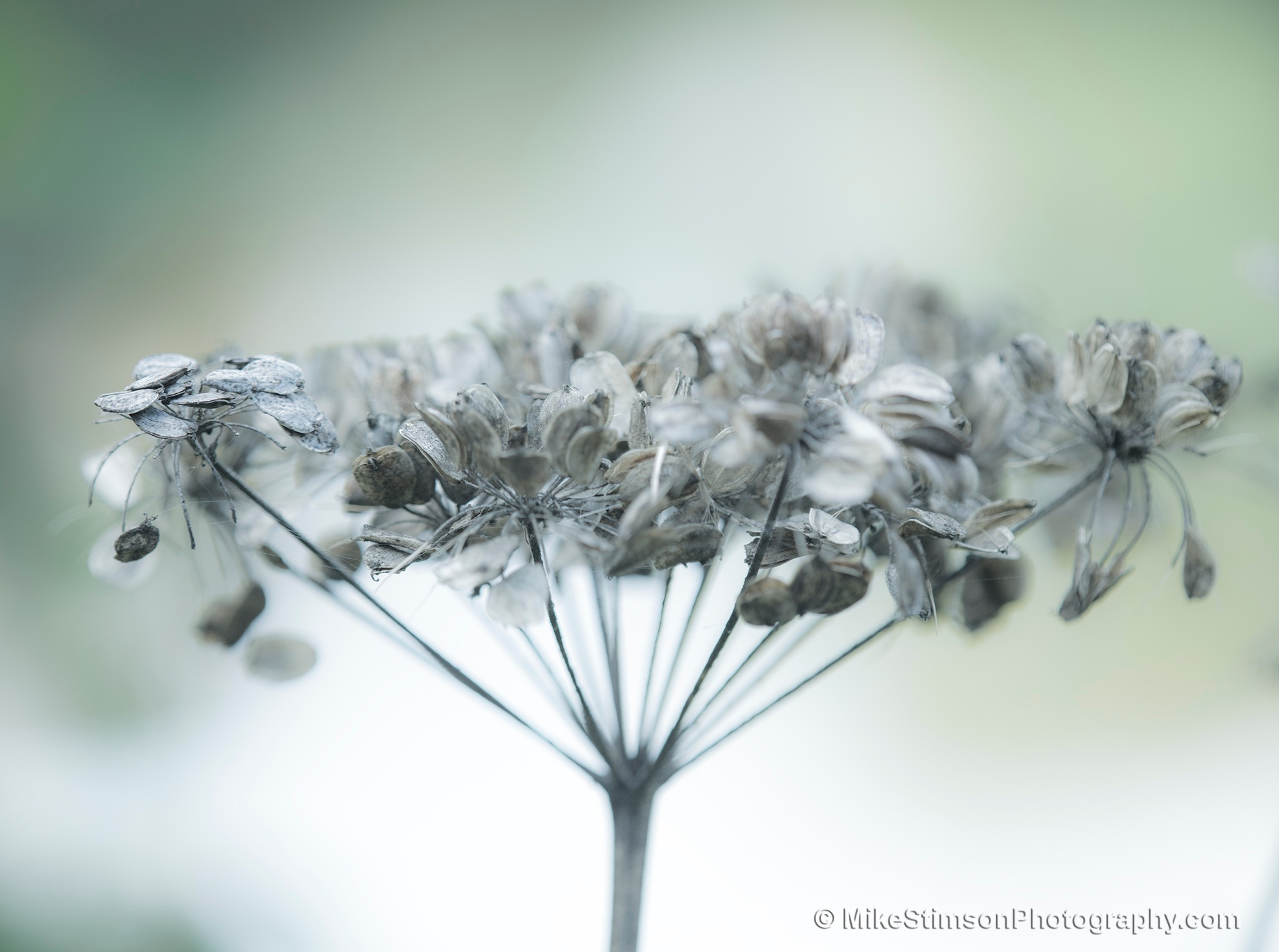 Cow Parsley seed head by Mike Stimson