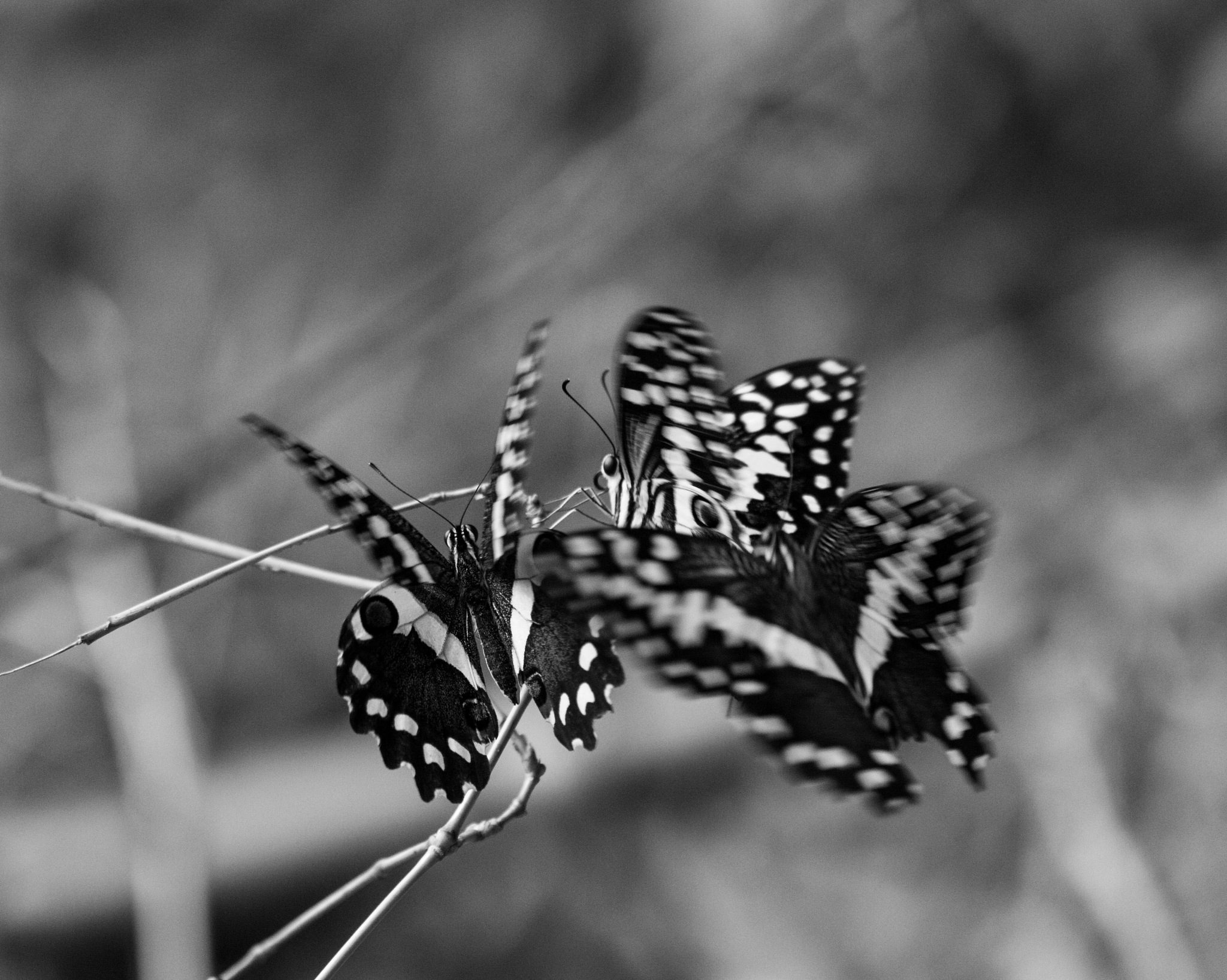 Beautifull butterflies by Nicolas F.