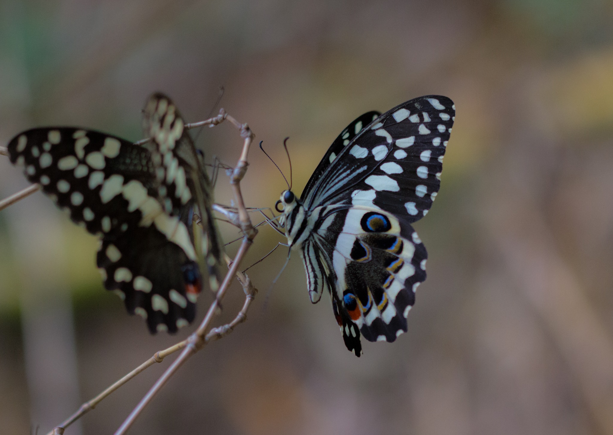 Beautiful butterflies by Nicolas F.